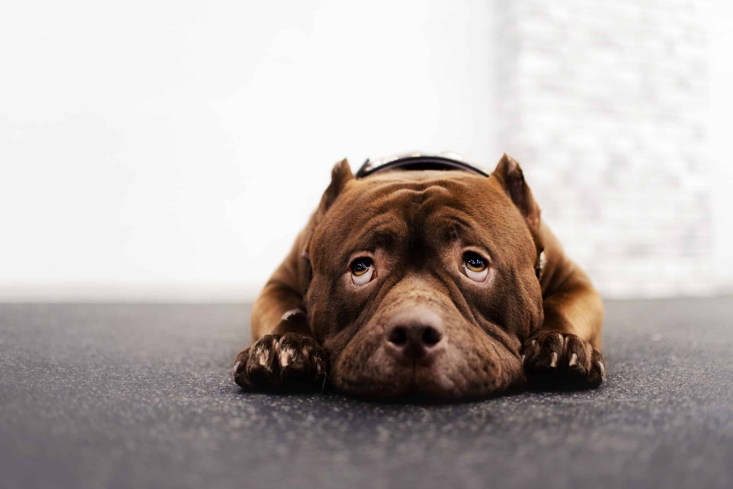Fearful Staffordshire Terrier. Learning the nuances of your dog's temperament is an ideal first step in the training process