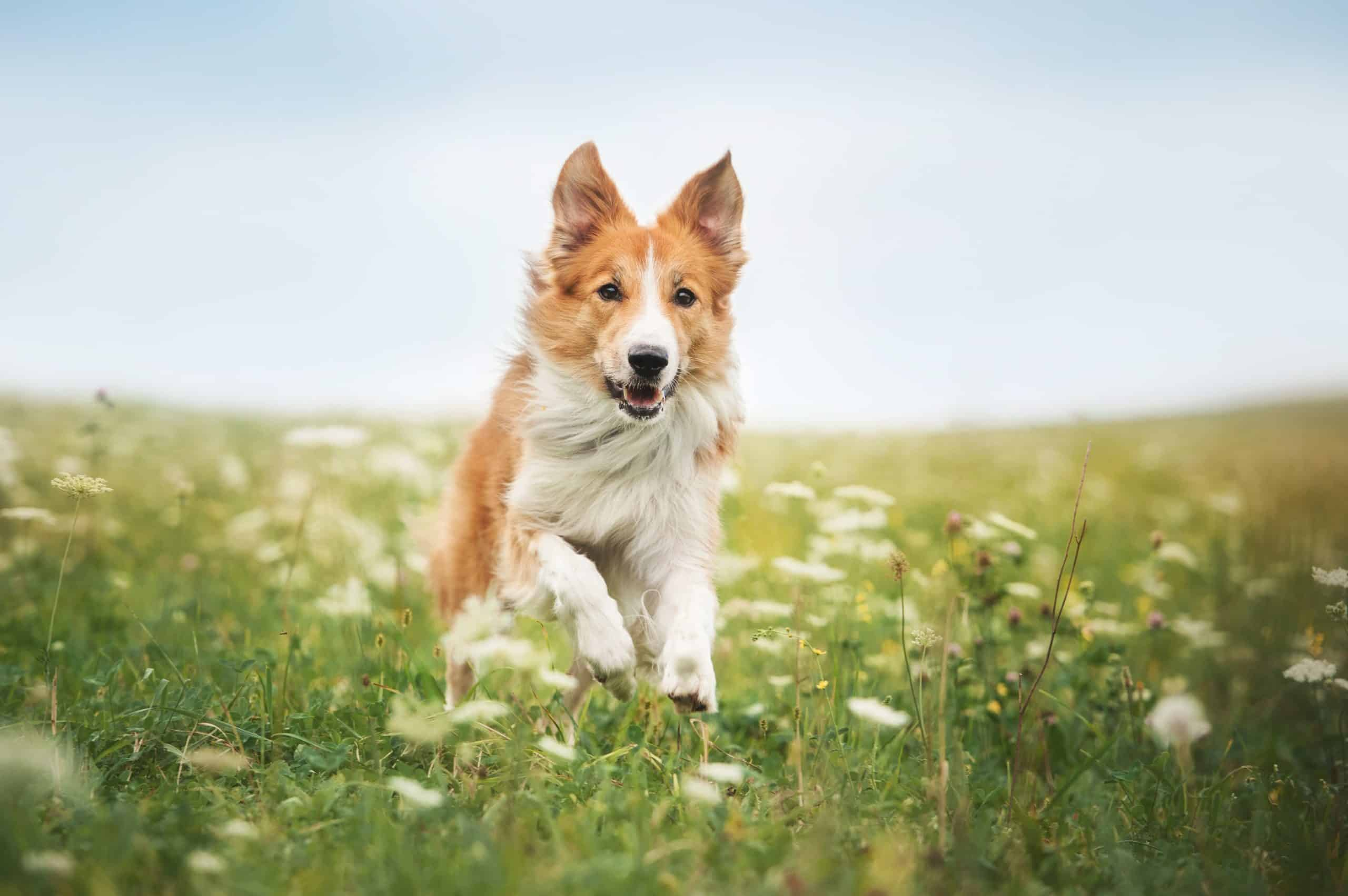 Happy red border collie. Genetics and breed may influence temperament, but your dog's environment also plays a major role.
