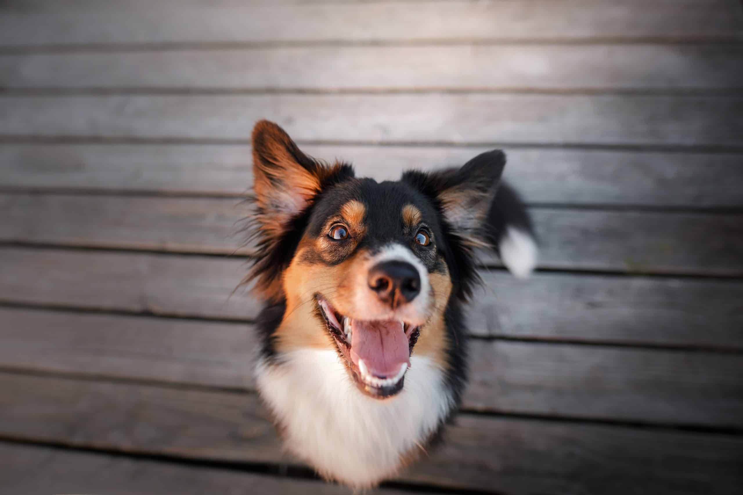 Happy Australian Shepherd. Attending obedience classes helps give your dog confidence.