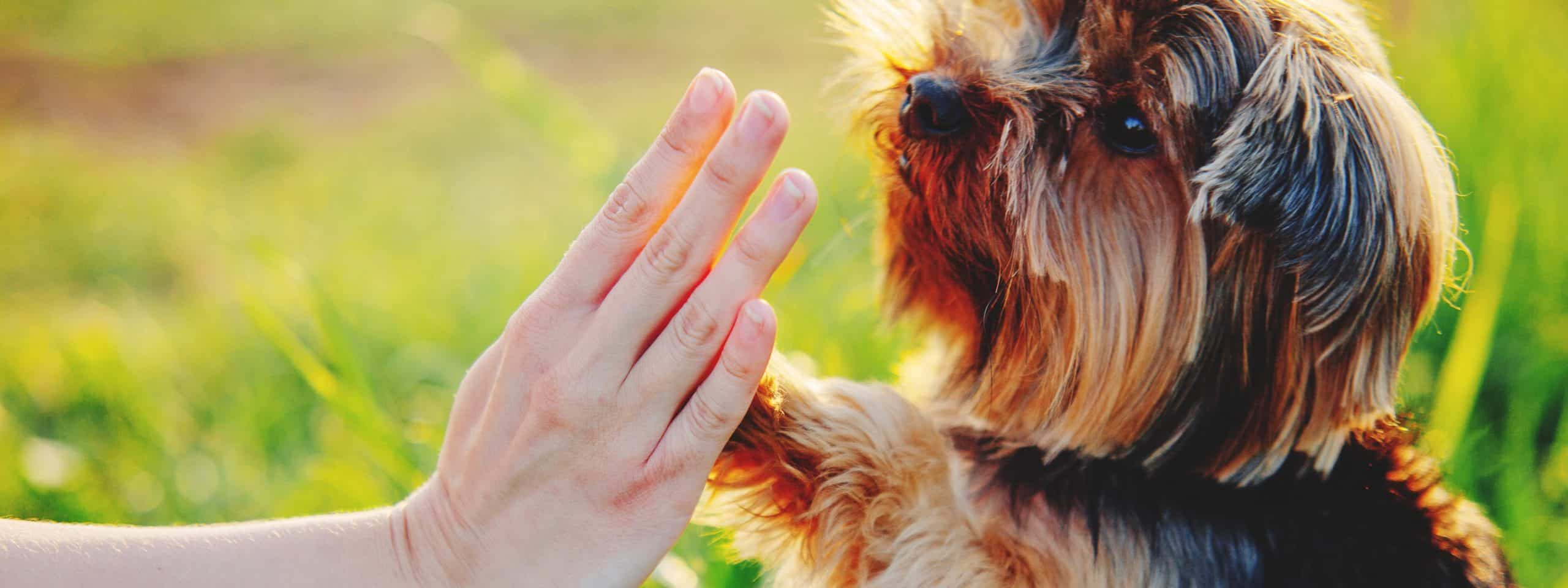 Owner trains Yorkie. Dog training offers an opportunity to bond with your dog.