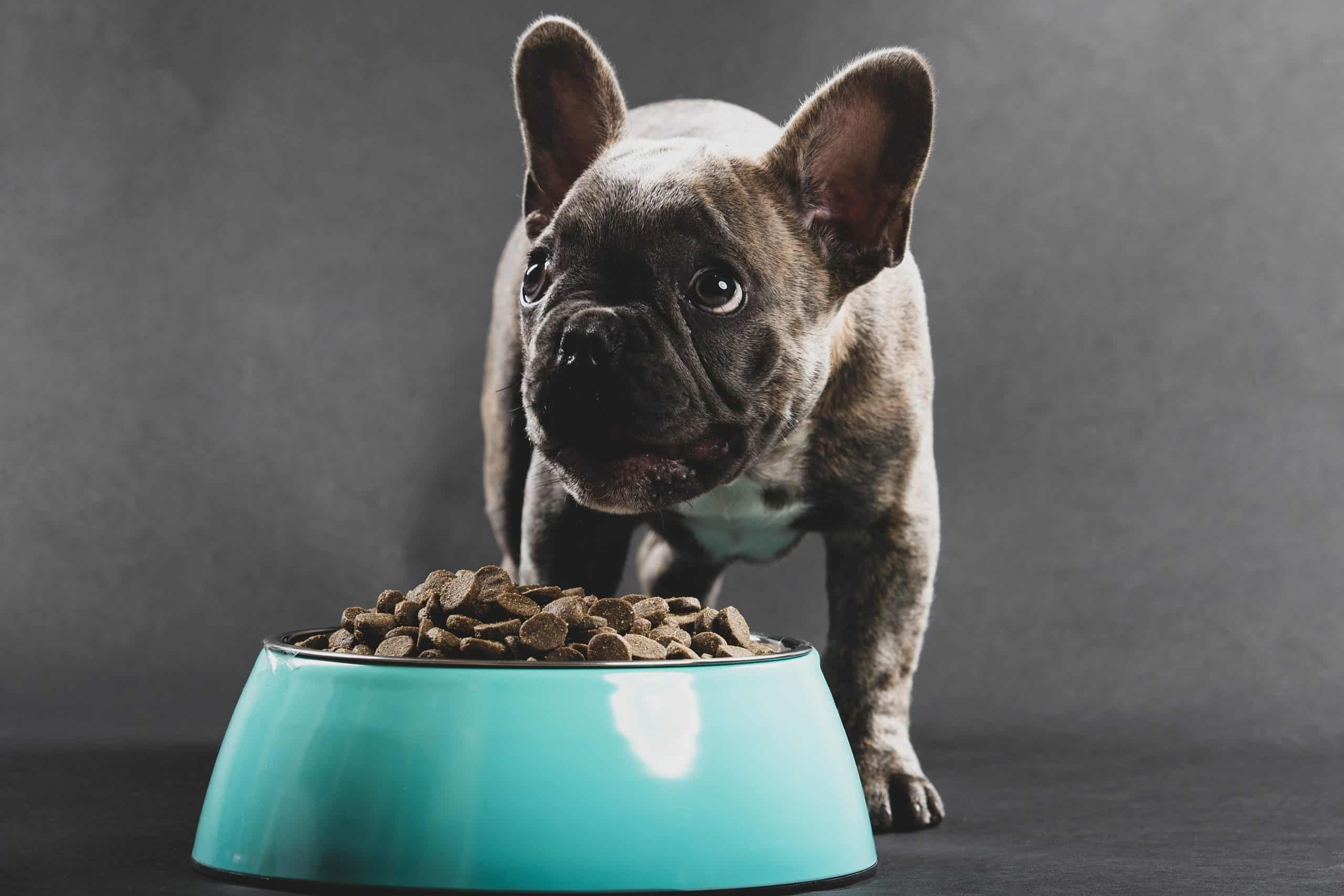 French bulldog puppy eats from aqua food bowl. Do research to ensure you are feeding your puppy not only the best food but also the right amount.