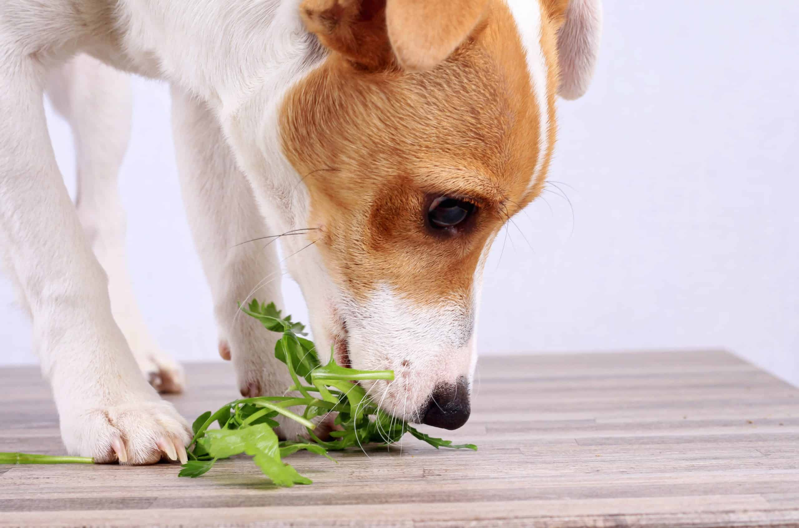 Jack Russell terrier eats parsley. Add finely chopped parsley to your dog's food to improve digestion and fight bad breath. This healthy herb for dogs may help prevent urinary tract infections and both kidney and gallbladder stones. It's right in anti-oxidants and is a natural diuretic.