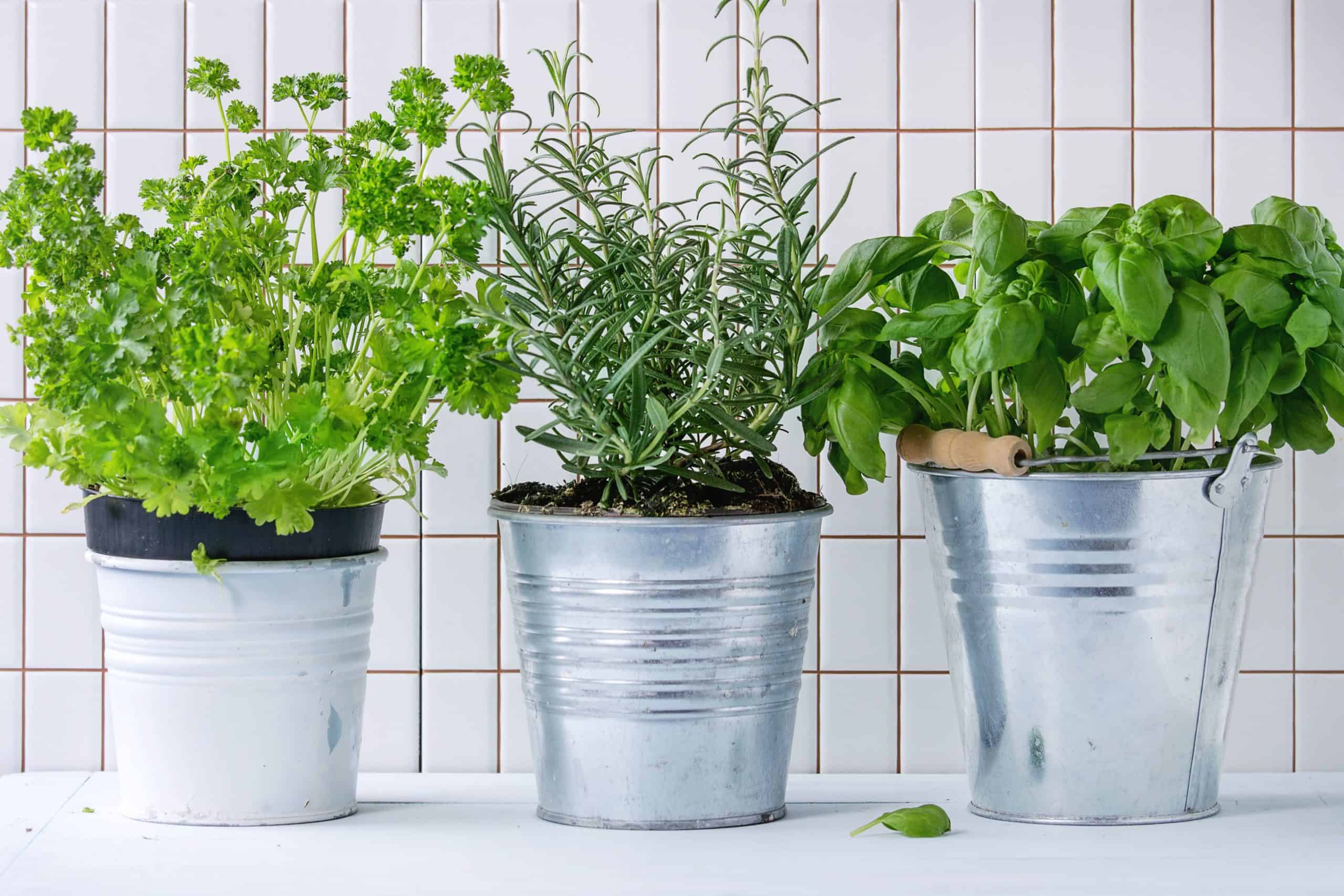 Herb garden on shelf in house. Healthy herbs for dogs can do everything from ease upset tummies and reduce inflammation to promote liver health and help dogs sleep.