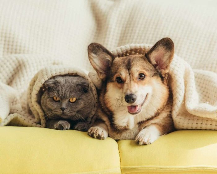 Corgi puppy snuggles under blanket with cat.