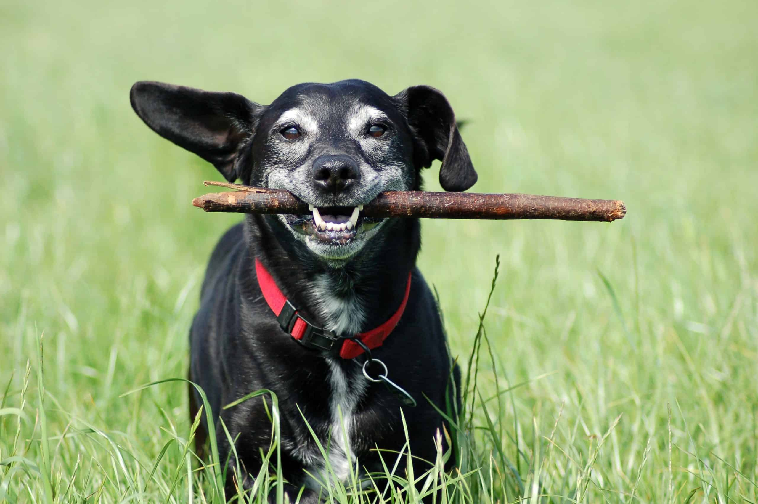 Older dog plays fetch. Regular exercise is key to maintaining a healthy weight and reducing joint pain and stress.