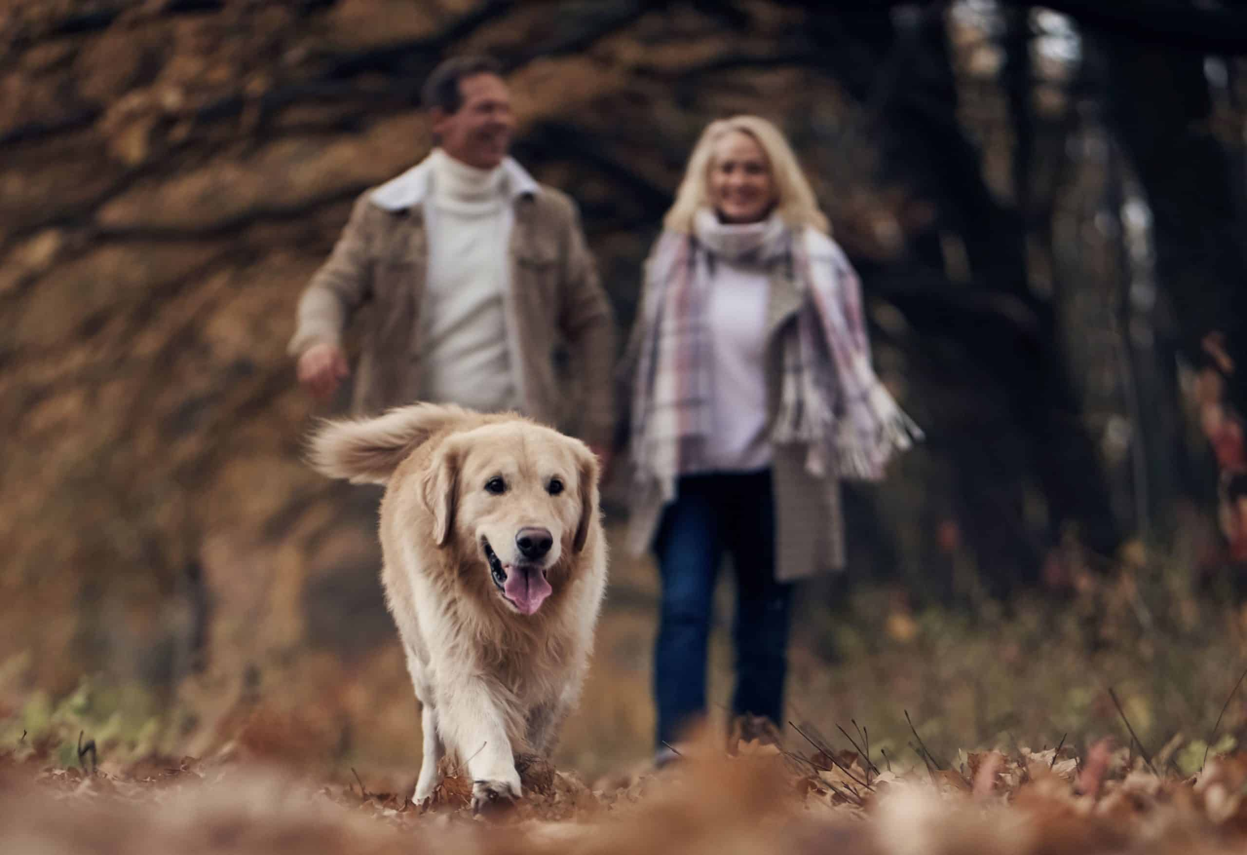 Couple walks with happy, older Golden Retriever. Maintain your dog's joint health with a balanced diet, regular activity, weight checks, joint supplements, and creating a safe environment.
