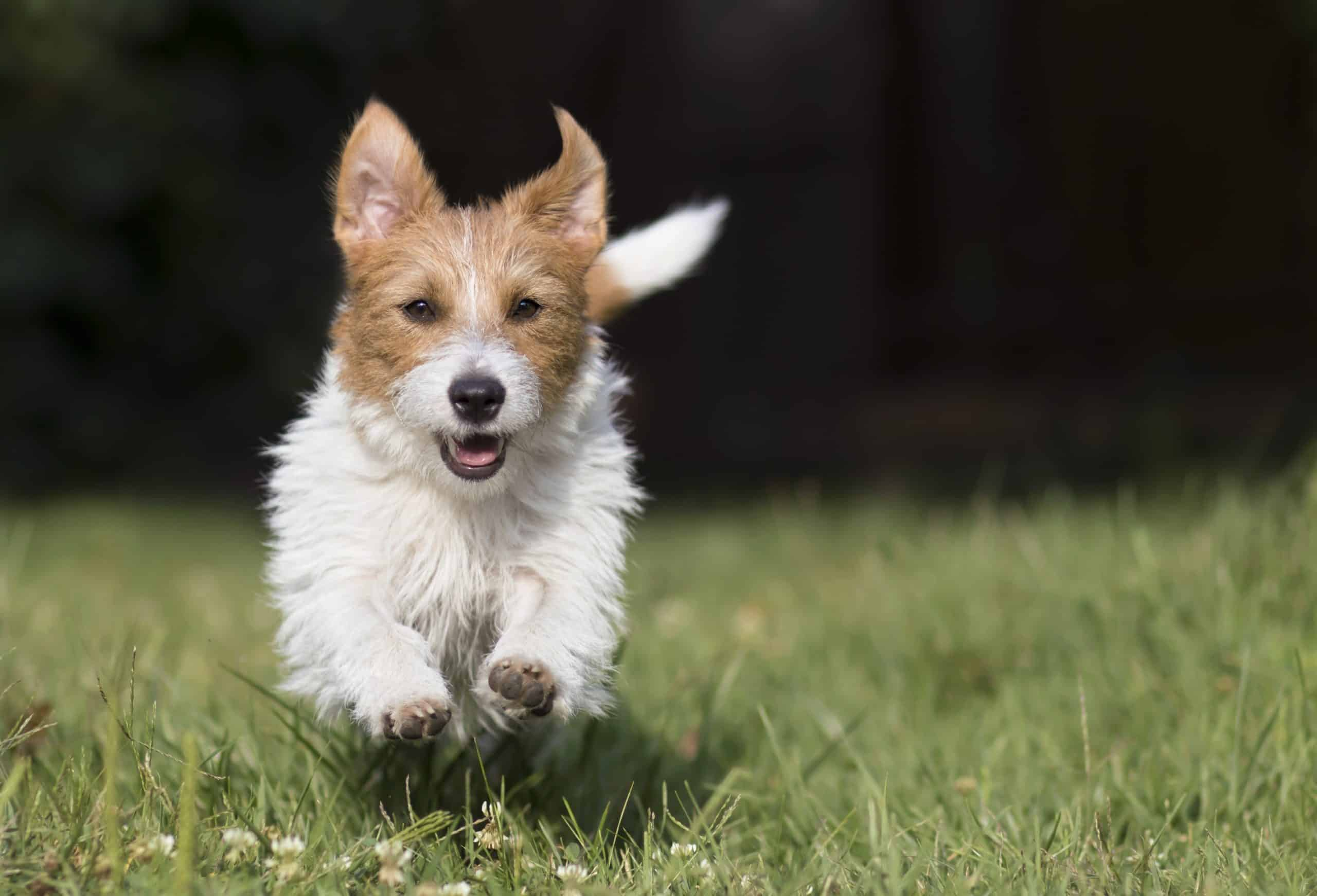 Jack Russell comes when called. Use puppy bonding games to strengthen key skills that every pup should have including coming when called and sitting when asked.