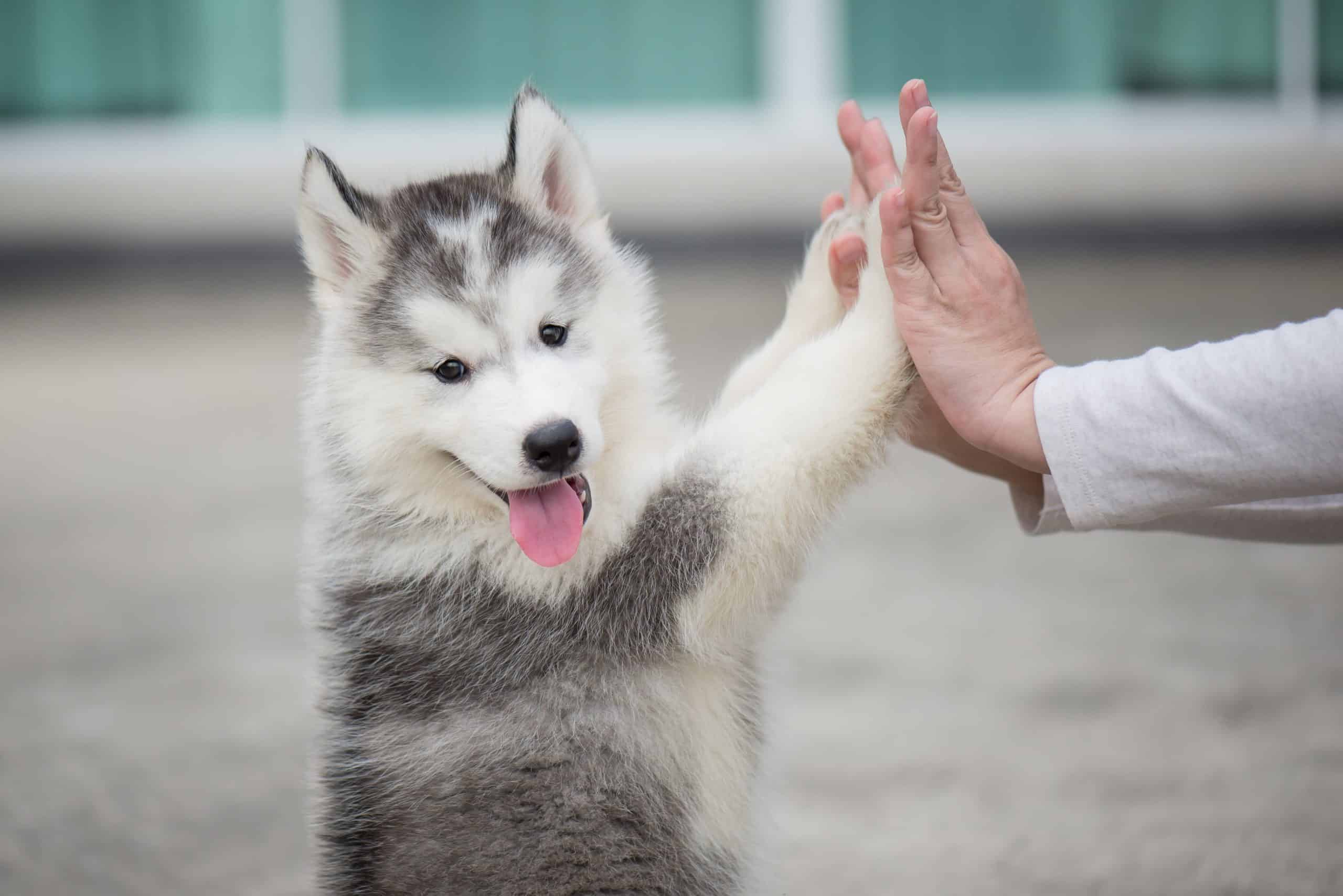 Siberian Husky puppy plays the touch bonding game with owner.
