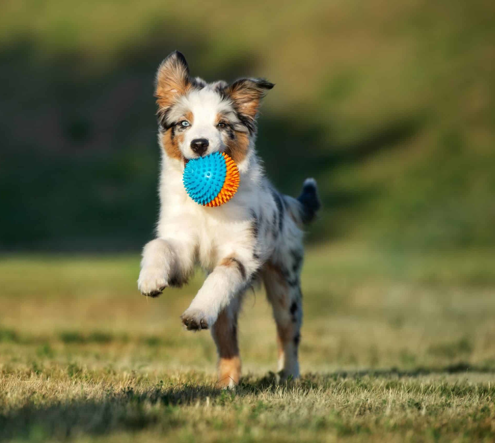 Australian Shepherd puppy plays fetch. Playing puppy games like fetch helps prevent boredom and provide a fun, easy way to teach your puppy basic commands.