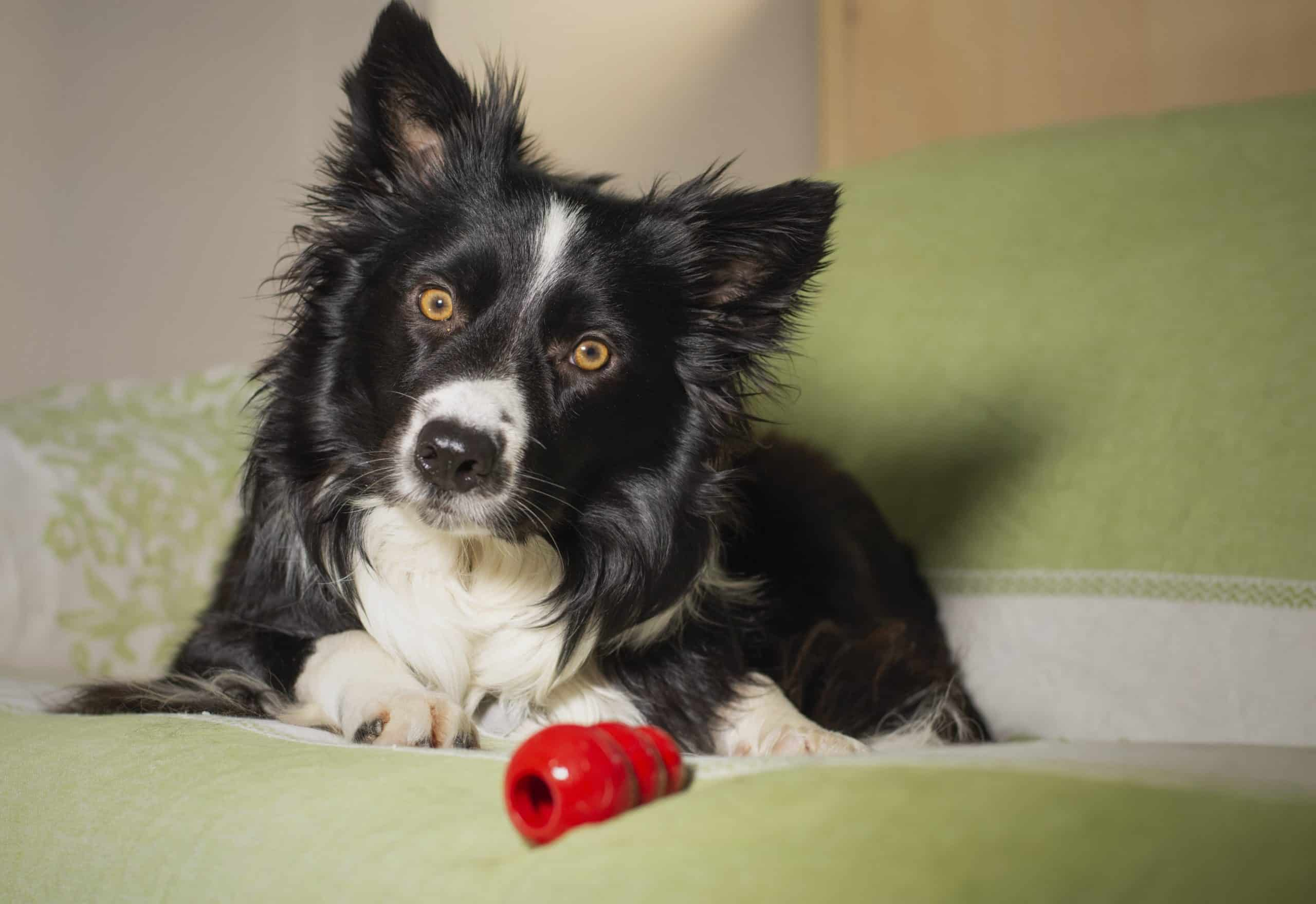 Border Collie puppy plays with Kong food toy. Food dispensing toys like Kongs help keep puppies occupied and encourage their natural scavenging abilities.