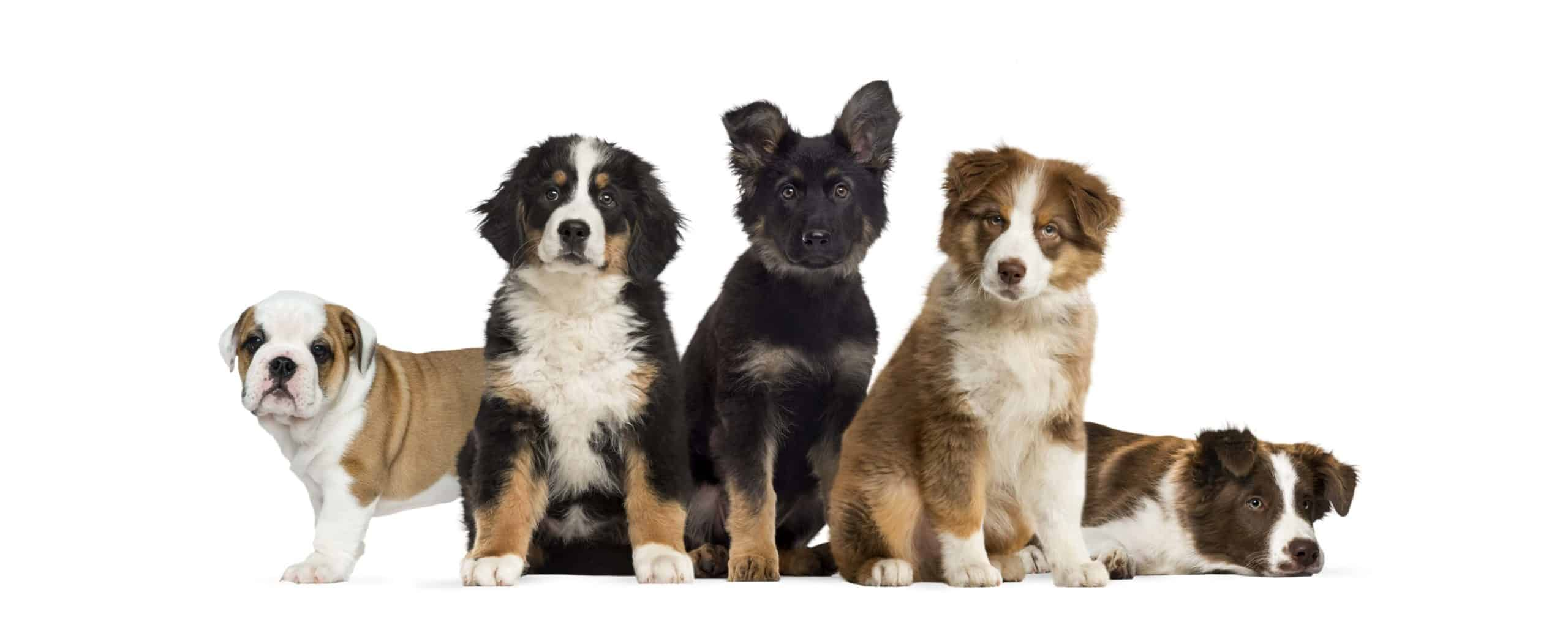 Collection of puppies includes bulldog, Bernese Mountain Dog, German Shepherd, Australian Shepherd, and St. Bernard. Tips for first-time dog owners include stocking up on the products that you absolutely need for a new dog.