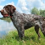 The German Wirehaired Pointer has excellent hunting instincts because they were bred specifically for this purpose.
