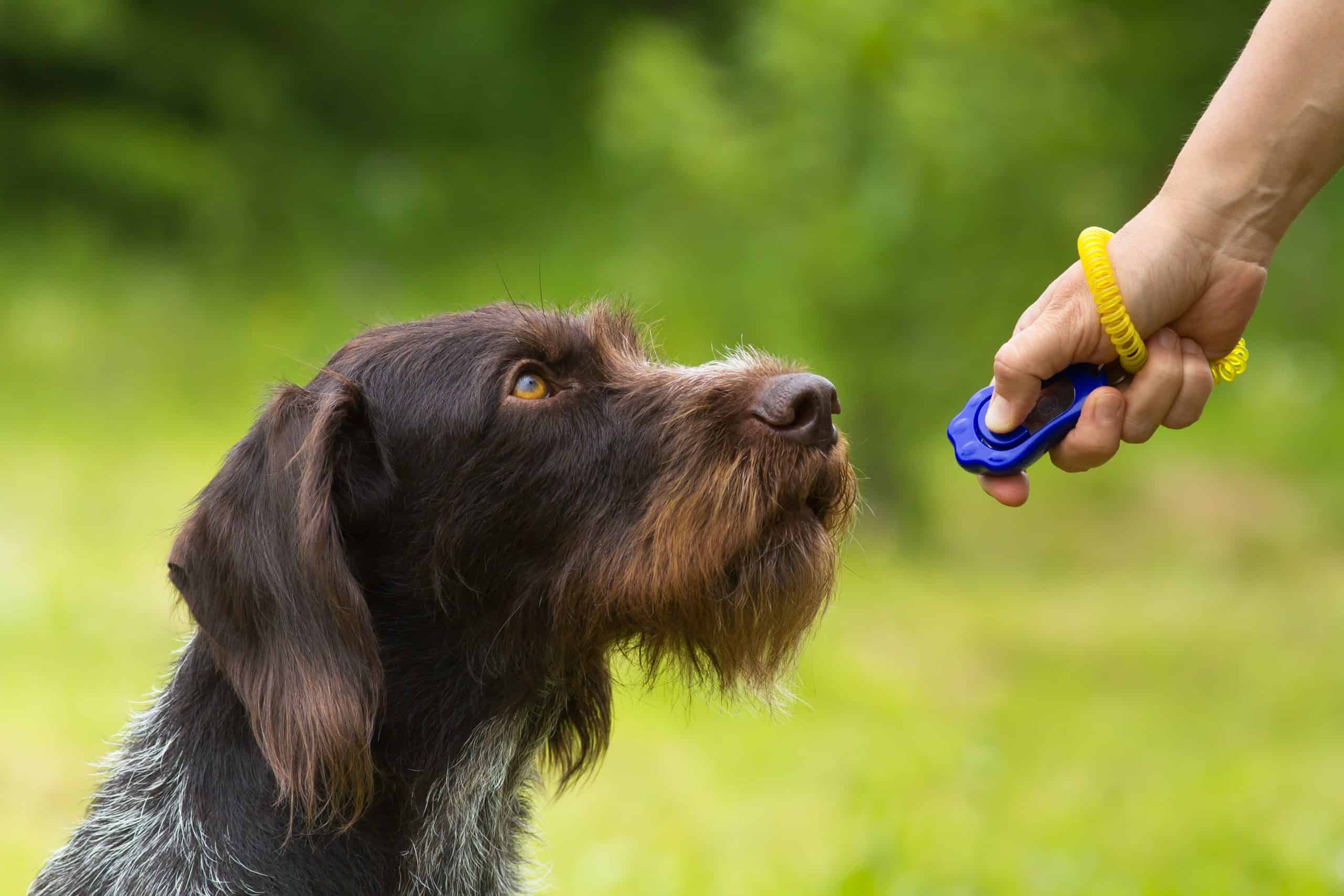 The German Wirehaired Pointer can learn simple and complex commands. If you plan to hunt with the dog, pay attention to cancellation commands and introduce distractions like smells, sounds, and other people during training.