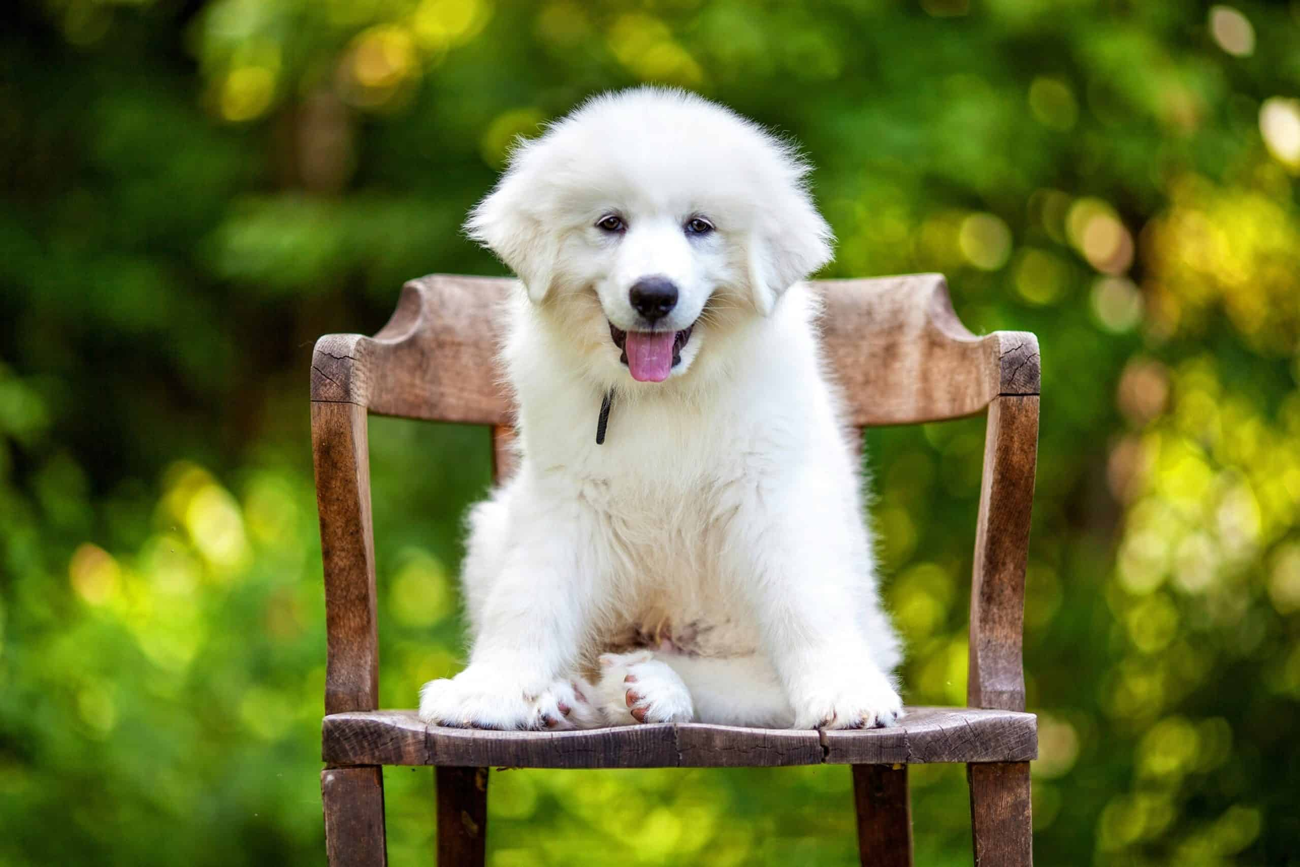 Great Pyrenees puppy sits on a chair. The Great Pyrenees is territorial and protective. They also are nocturnal and have a keen sense of hearing.