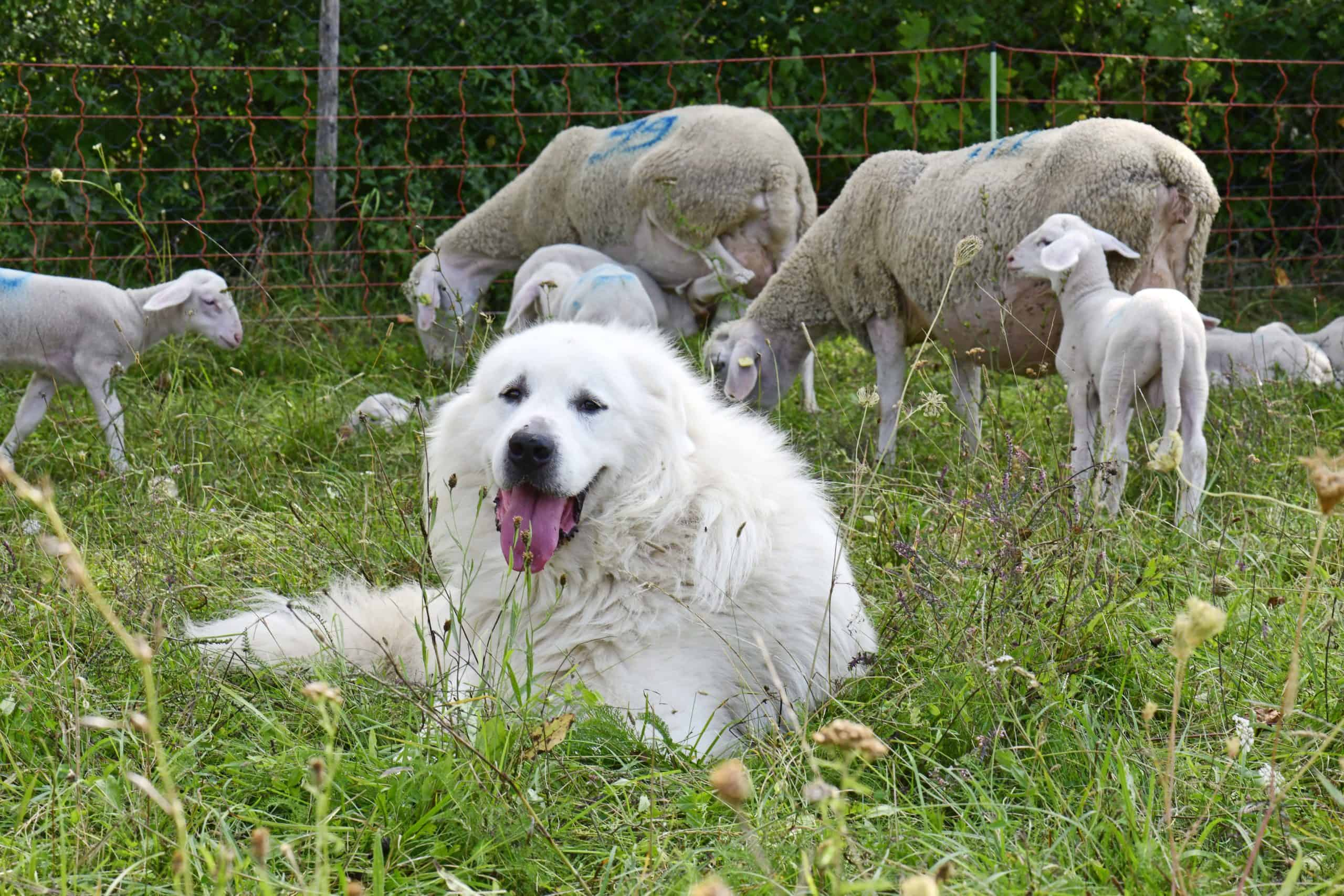 Great Pyrenees with flock of sheep. Having been bred to be watchdogs for flocks, Great Pyrenees require more than the usual exercise
