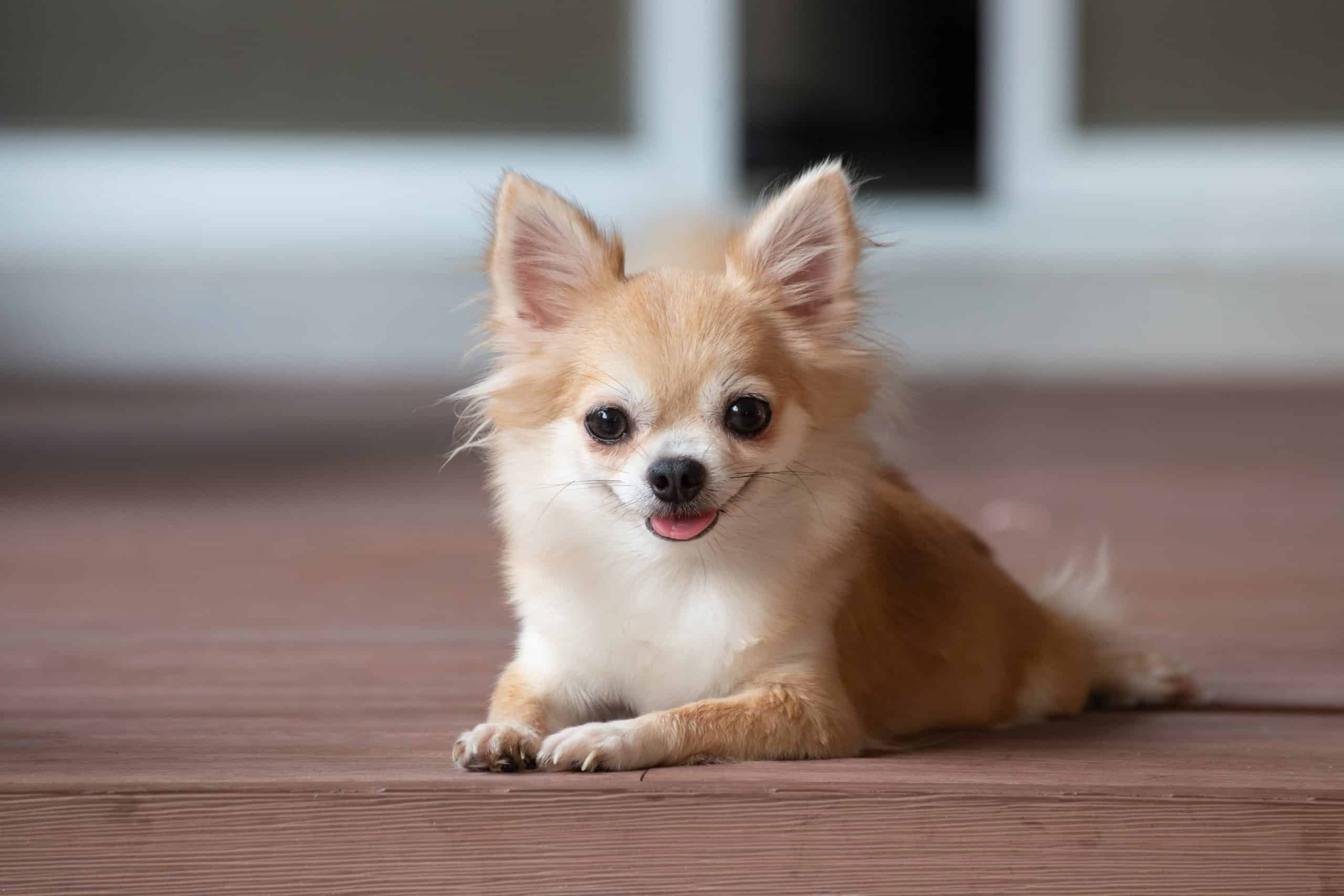 """Happy Chihuahua puppy. Chihuahuas have been popular pets since """"Legally Blonde."""""""