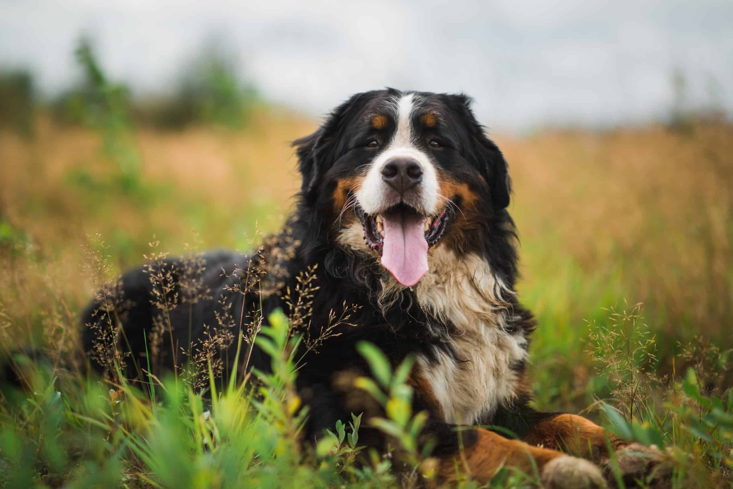 Happy Bernese Mountain Dog in a field. Big dog health issues include joint health and heart problems, which, unfortunately, can shorten your dog's lifespan.