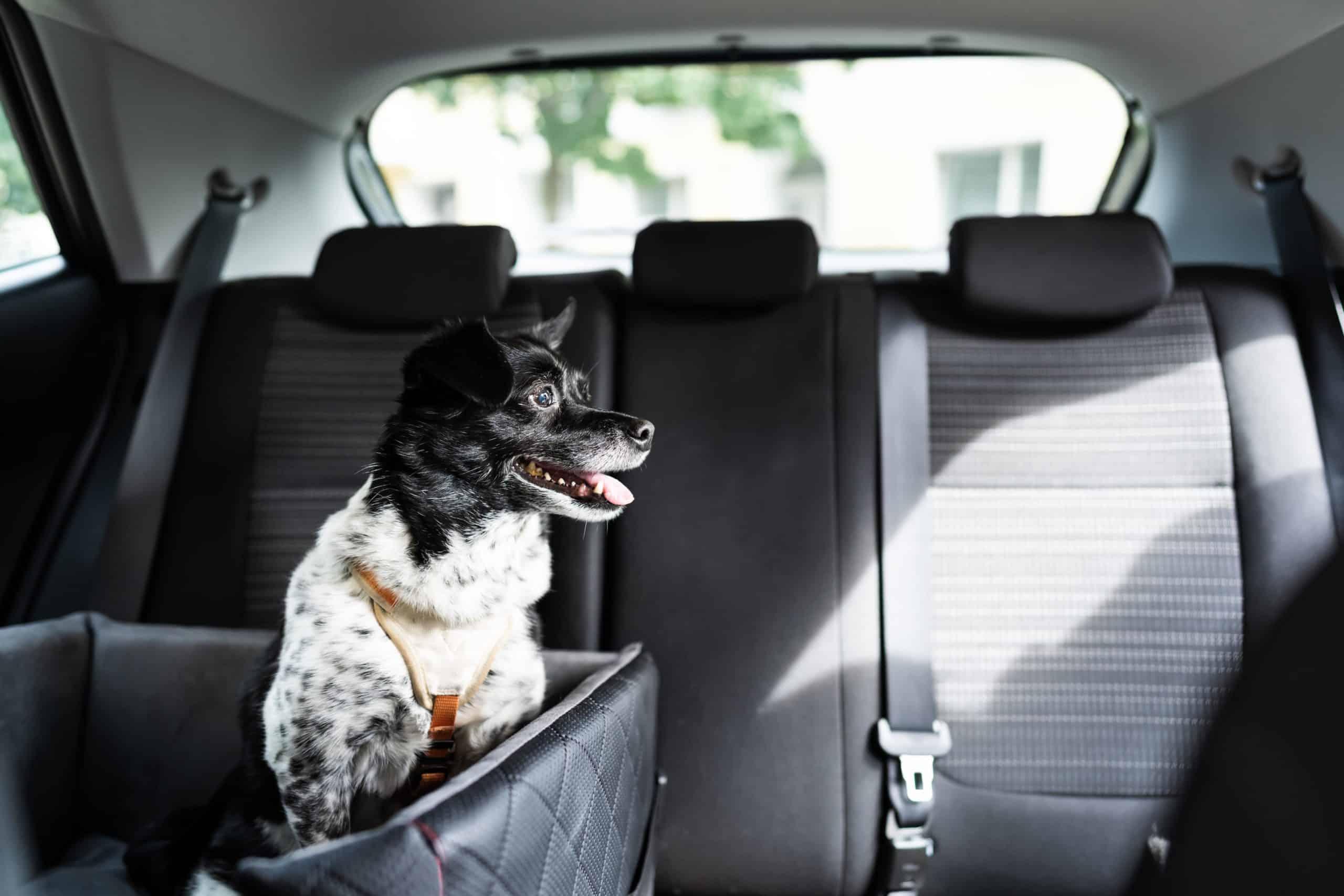 Happy dog sits in dog car seat.