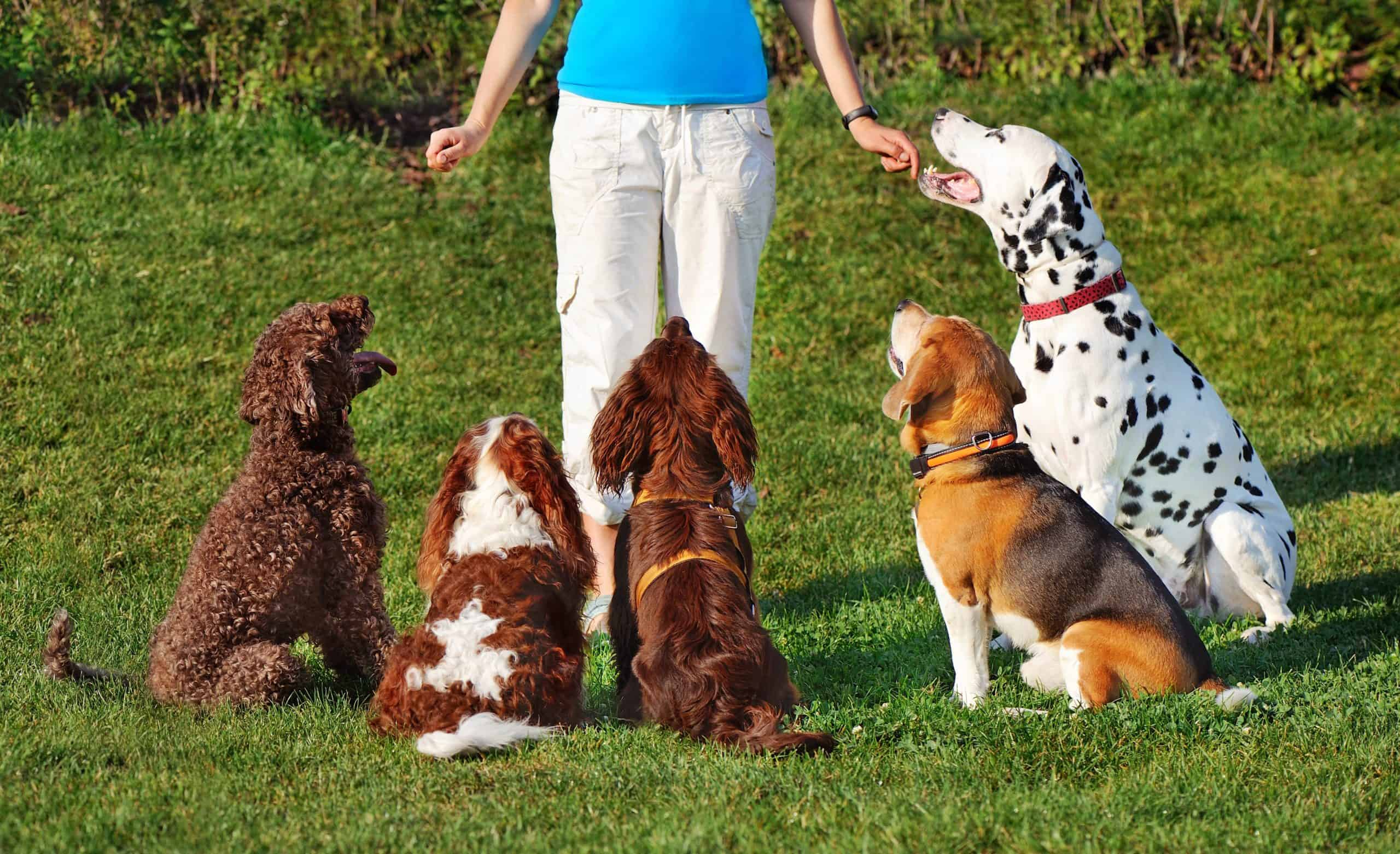 Trainer works with five dogs. Avoid common dog training mistakes like not having enough patience, failing to properly reward your dog, or set a schedule.