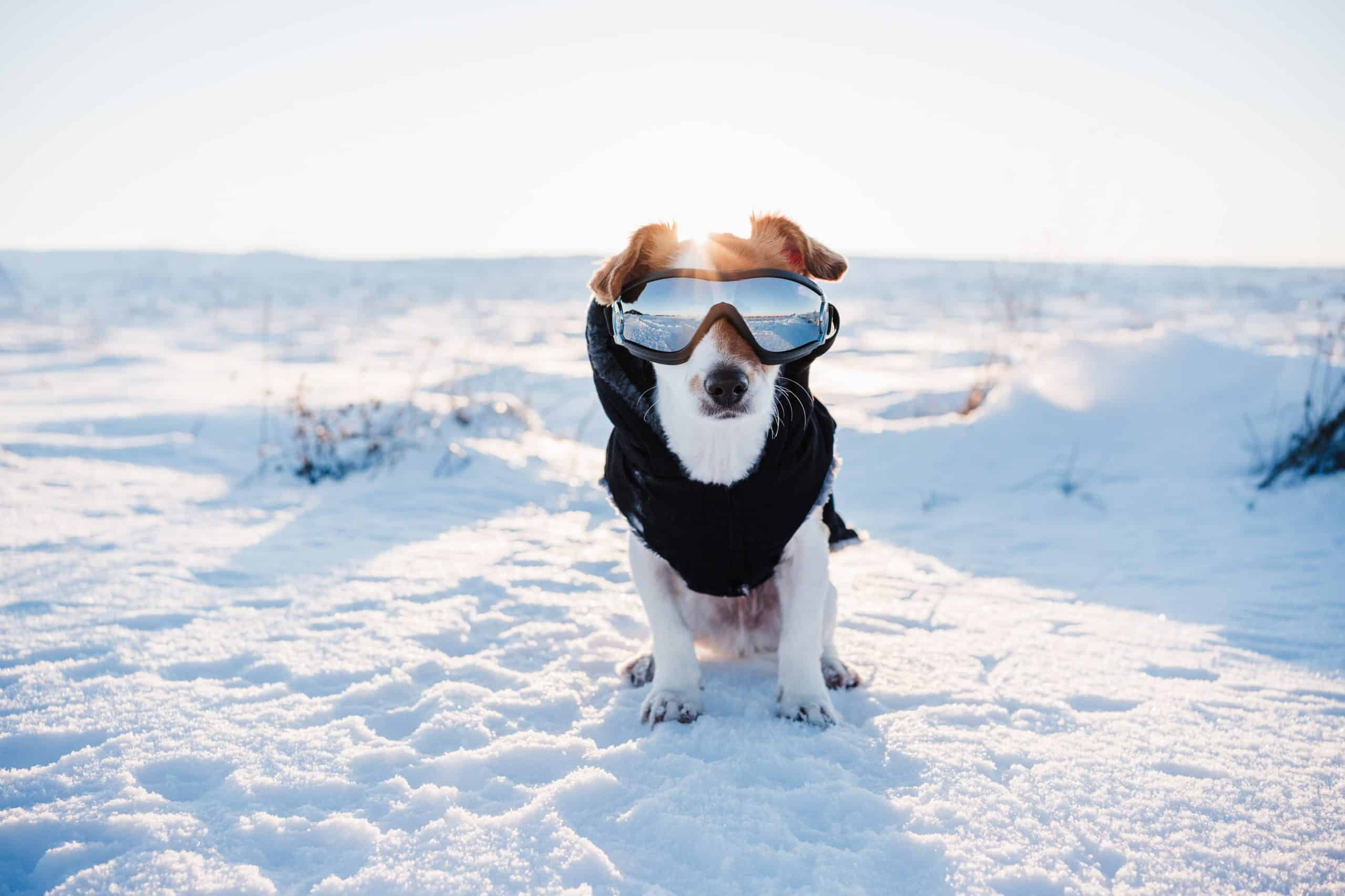 Dog wears a winter coat and snow goggles. Your dog needs sunscreen if he has light-colored hair or nose, if he spends a lot of time outdoors, or if he has any bald spots.
