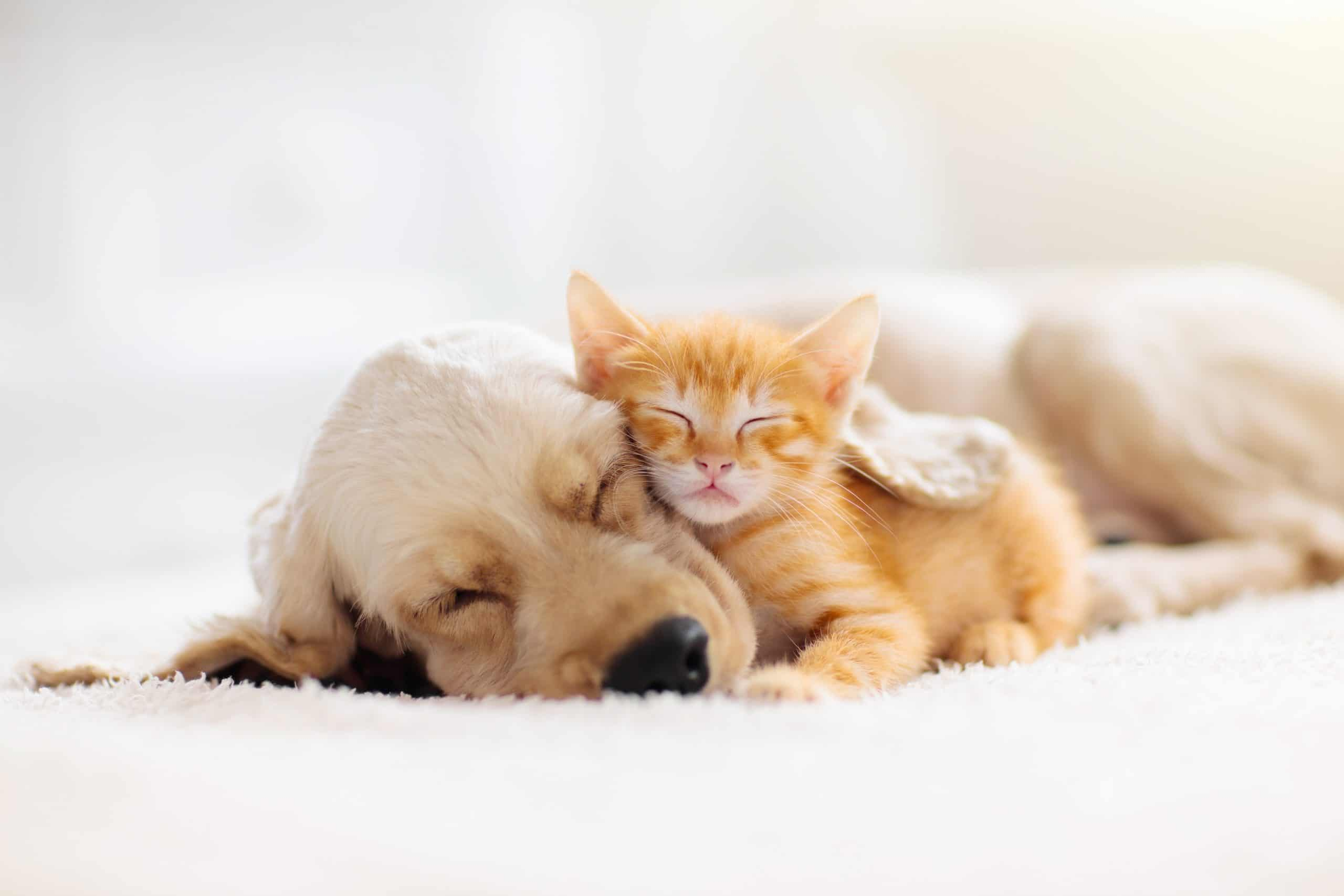 Cocker spaniel puppy and kitten snuggle together.