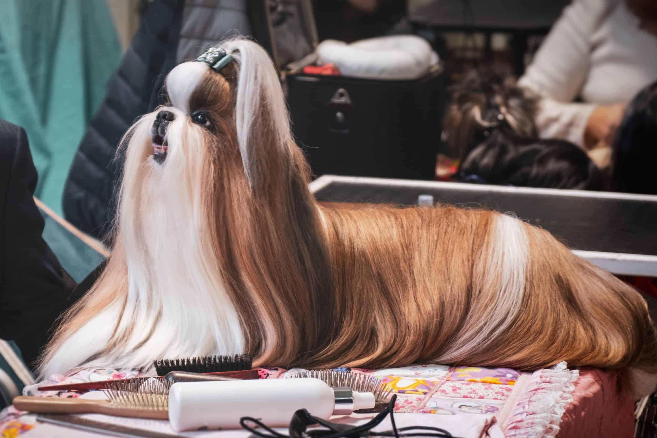 Lhasa Apso groomed at a dog show. The Lhasa Apso has a long and luxurious coat that can get tangled if not cared for properly. Daily brushing and monthly baths are highly recommended for these dogs.