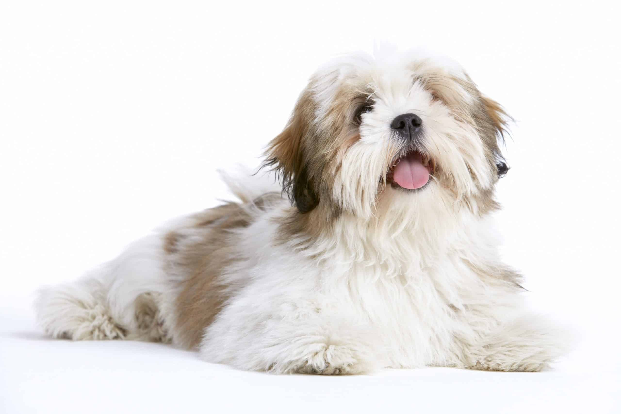 Lhasa Apso puppy on white background. The Lhasa Apso comes with beautiful black, tan, cream, red, and white-colored fur. But occasionally the dogs have grey, blue, or silver coats.