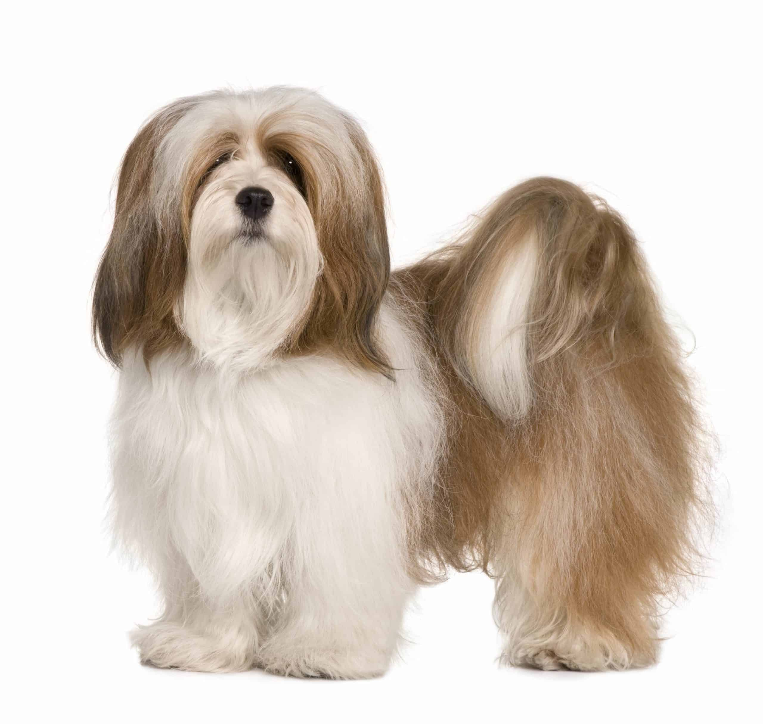 Lhasa Apso on white background. The Lhasa Apso is a high-maintenance dog that is loyal and intelligent. The dogs can be tricky to train, but need minimal exercise.