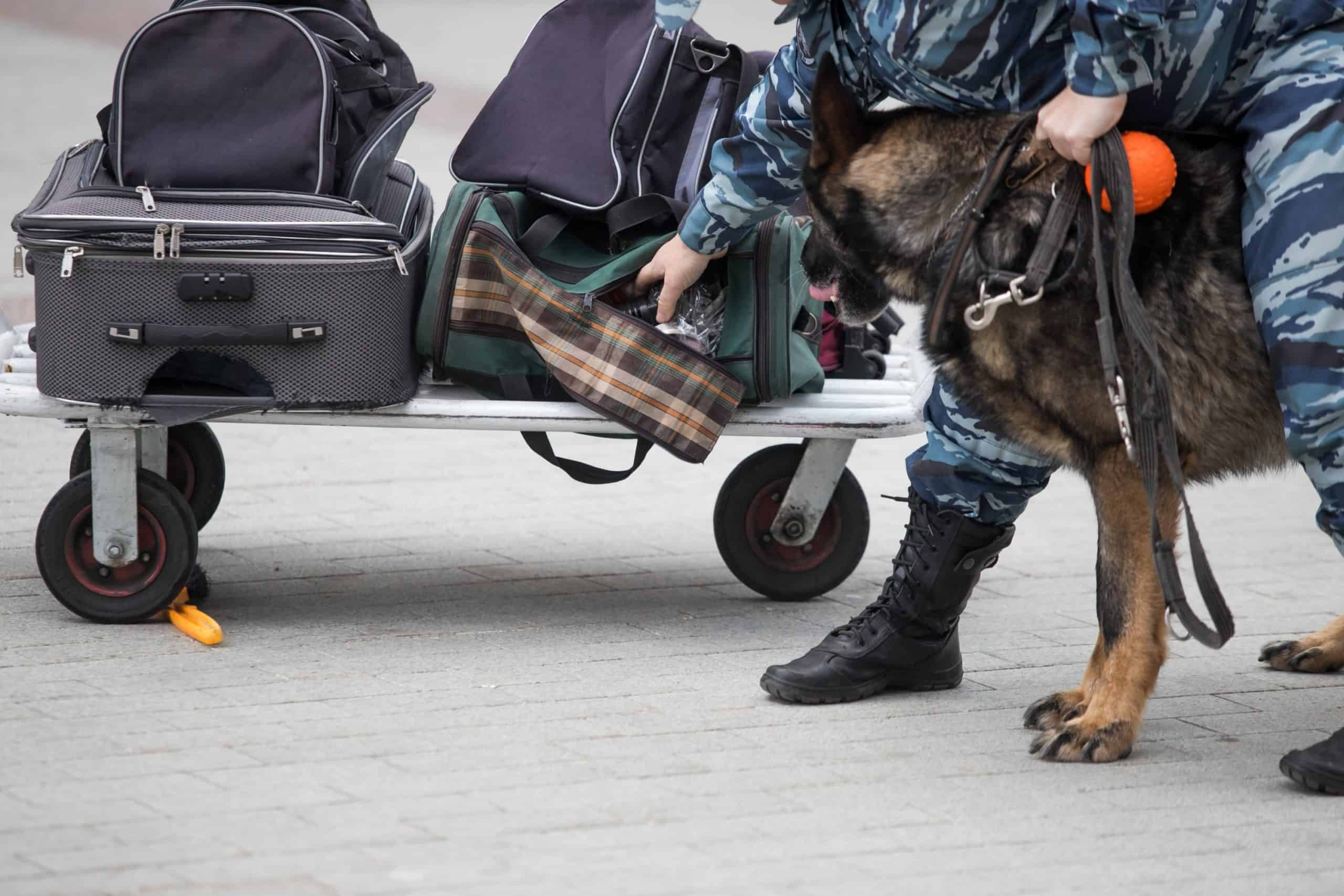 Canine detection dog checks luggage. Nose work for dogs uses canine's powerful scent receptors to fight crime, track poachers, save avalanche victims, and find truffles.