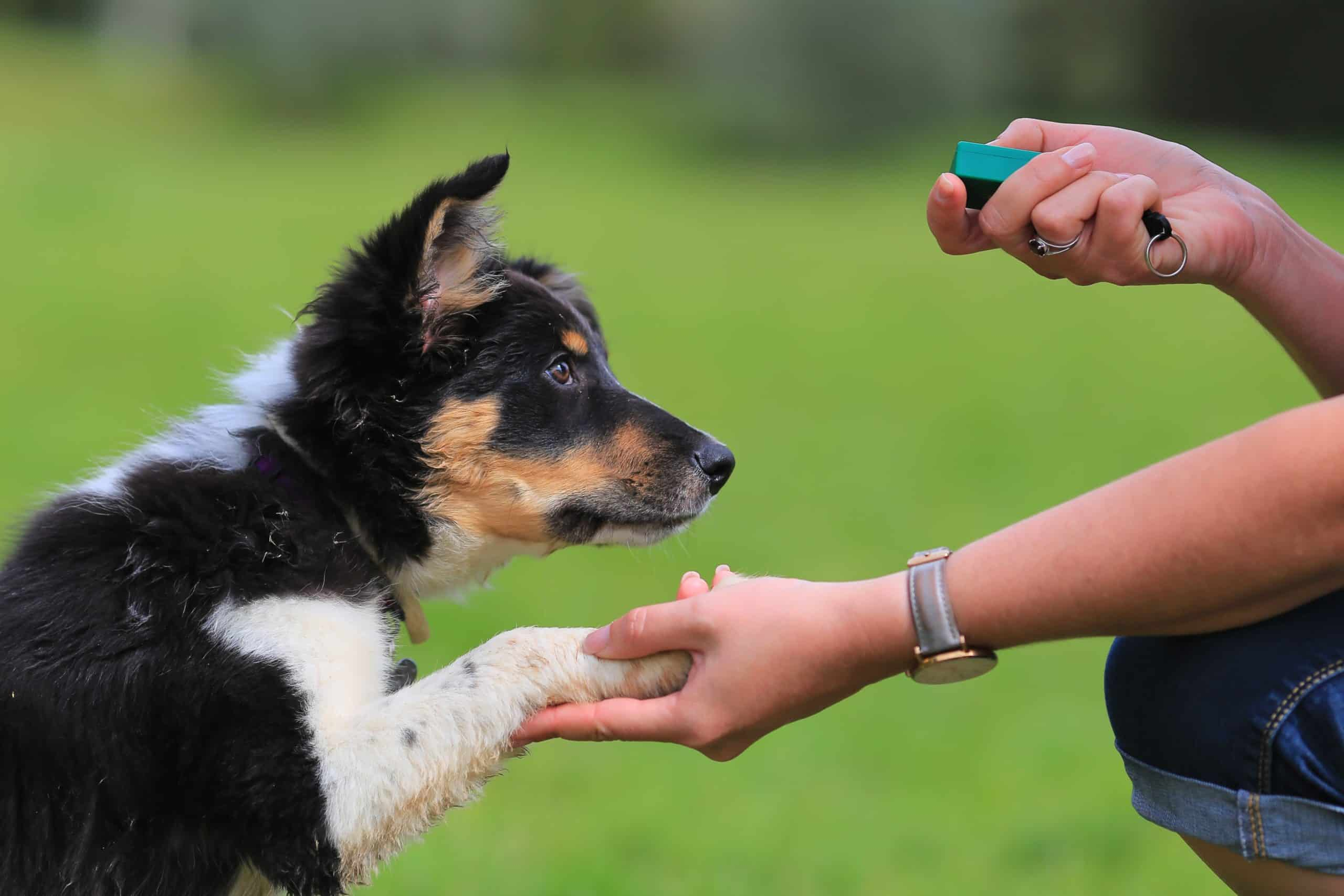 Owner trains dog using a clicker. If your dog is not motivated by food, get a little more creative in how you reward your dog. Try praising your dog or use a clicker to reinforce good behavior.