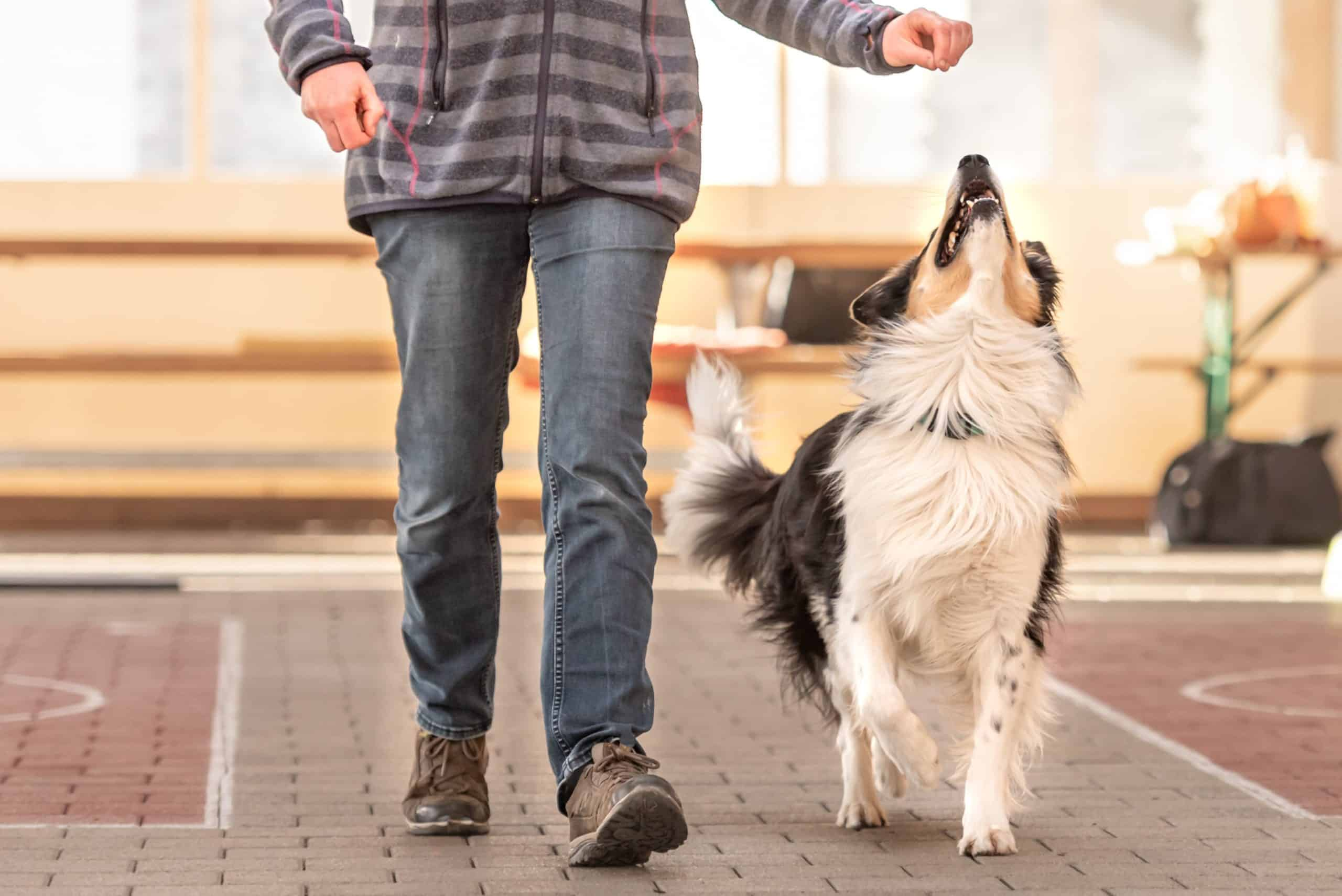 Man trains border collie with high value treat. If your dog isn't motivated by food, look at what you're giving them. You may need to offer something more appealing.