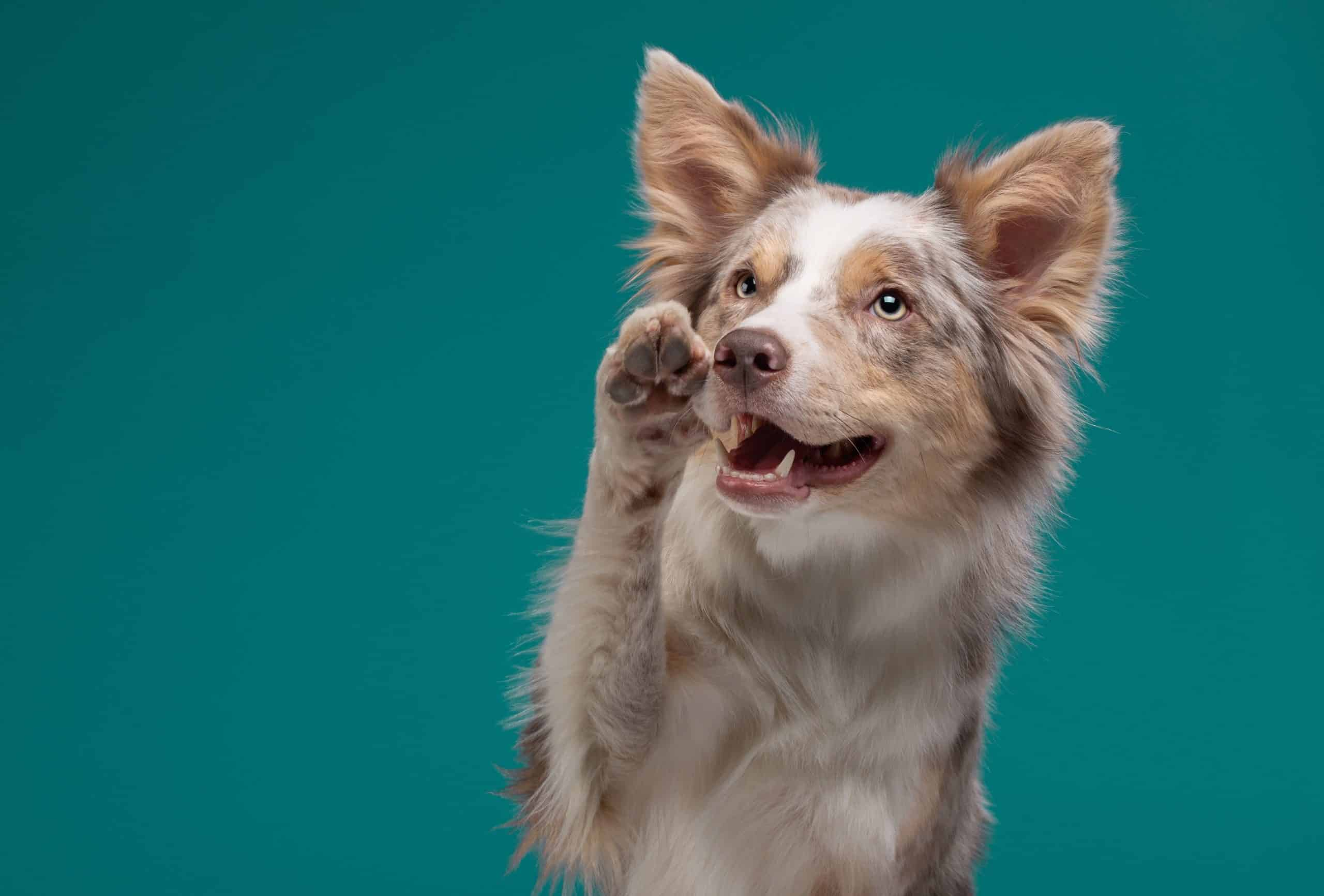 """Red Australian shepherd holds up a paw. Pawing is a natural and inherent way for dogs or puppies to communicate and demand that we """"focus"""" on them so they can tell us what they need."""