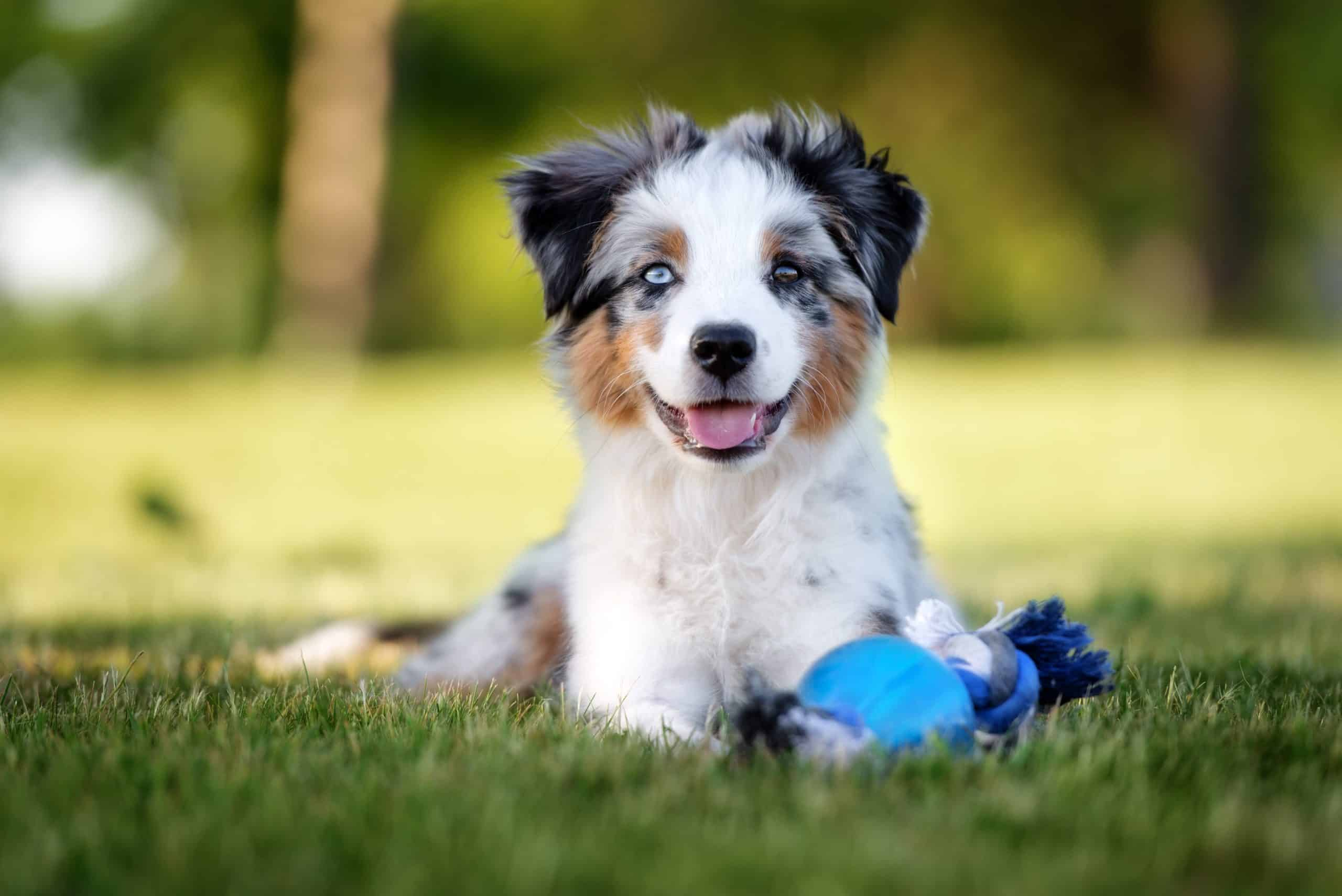 Happy Australian Shepherd puppy plays with chew toy. To ensure your dog lives their best life, focus on your pet's health. Make sure you provide healthy food, regular exercise, CBD supplements.