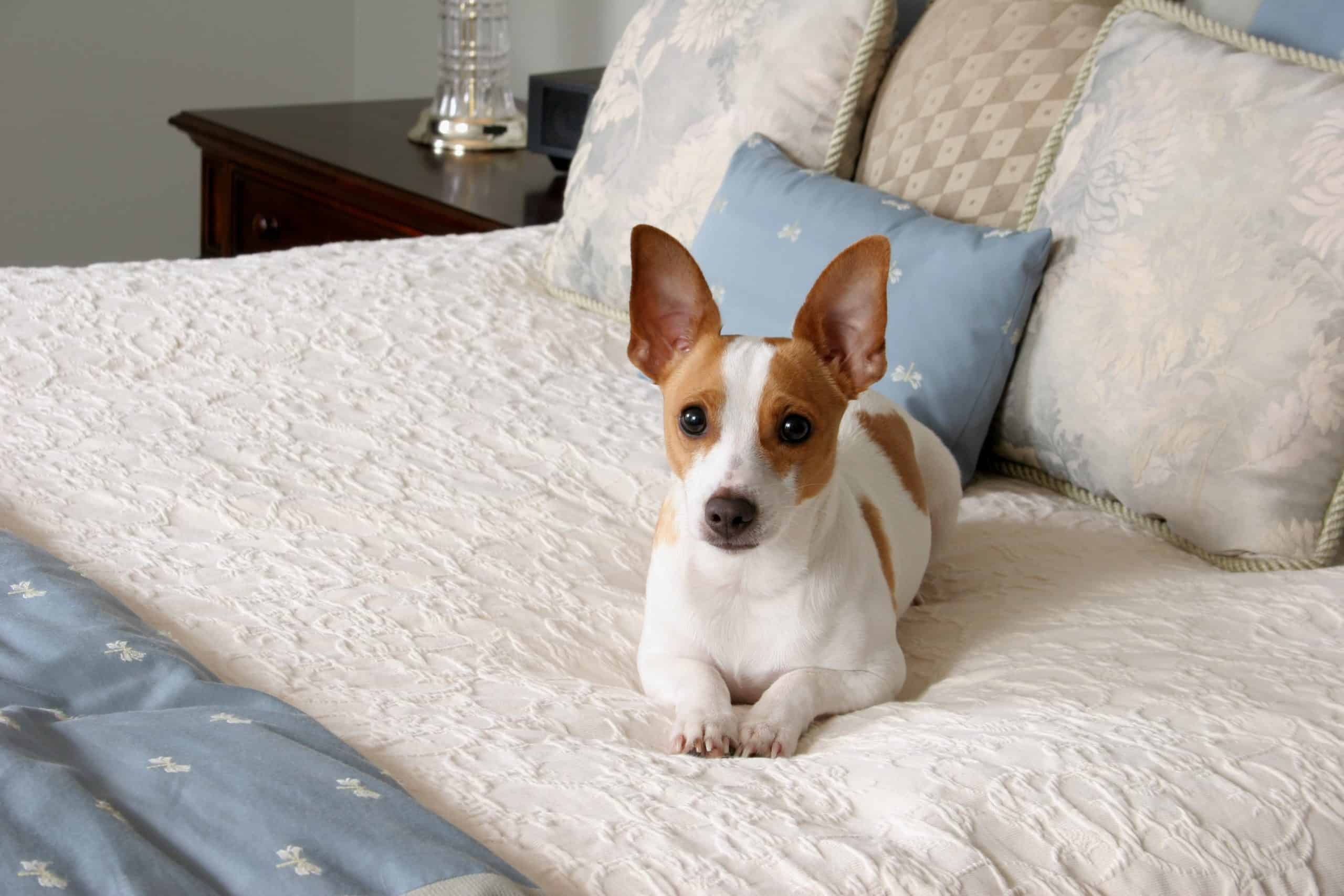 """Rat terrier sits on a bed. The """"original"""" mix for the Rat Terrier is believed to be English White Terrier, (now extinct), Smooth Fox Terrier, Whippet, and Manchester Terrier."""