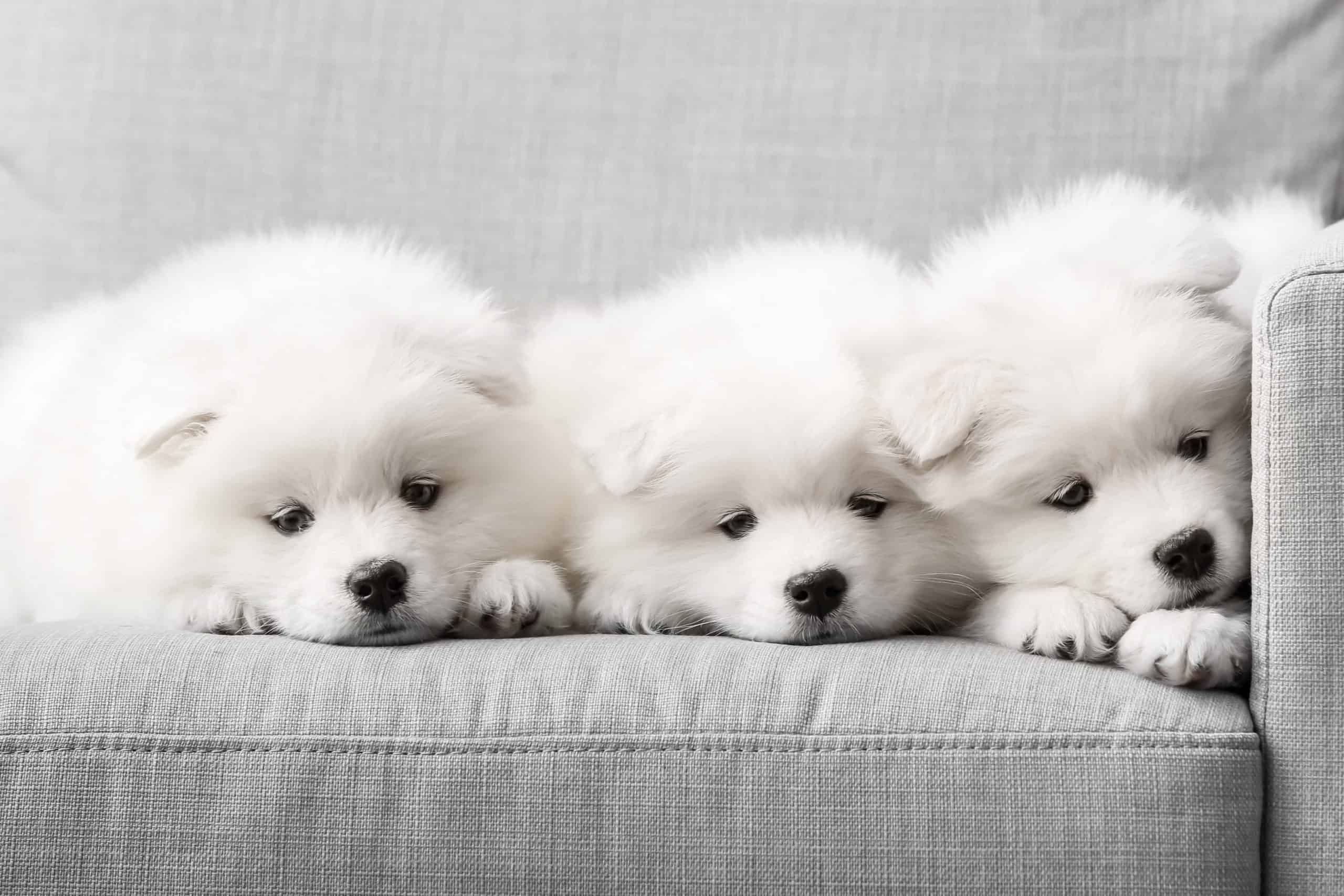 Three Samoyed puppies on a couch. The Samoyed is known for developing extremely close and loyal bonds with its owner.