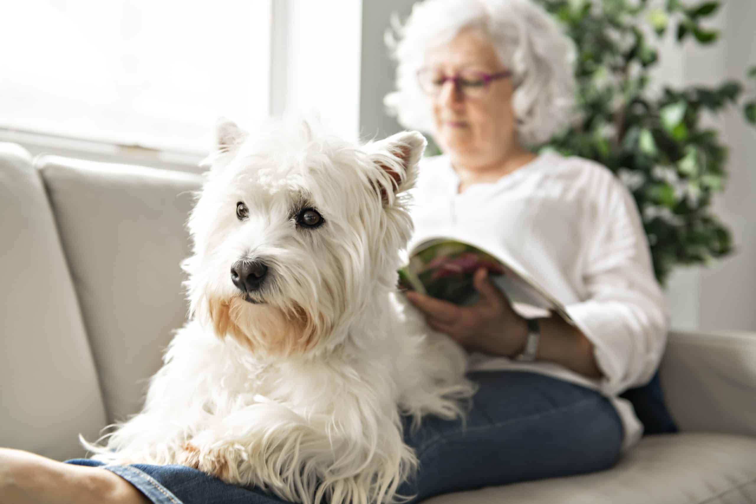 Older woman sits on couch with Westie. As your canine companion ages, try your best to factor in more quality time together.