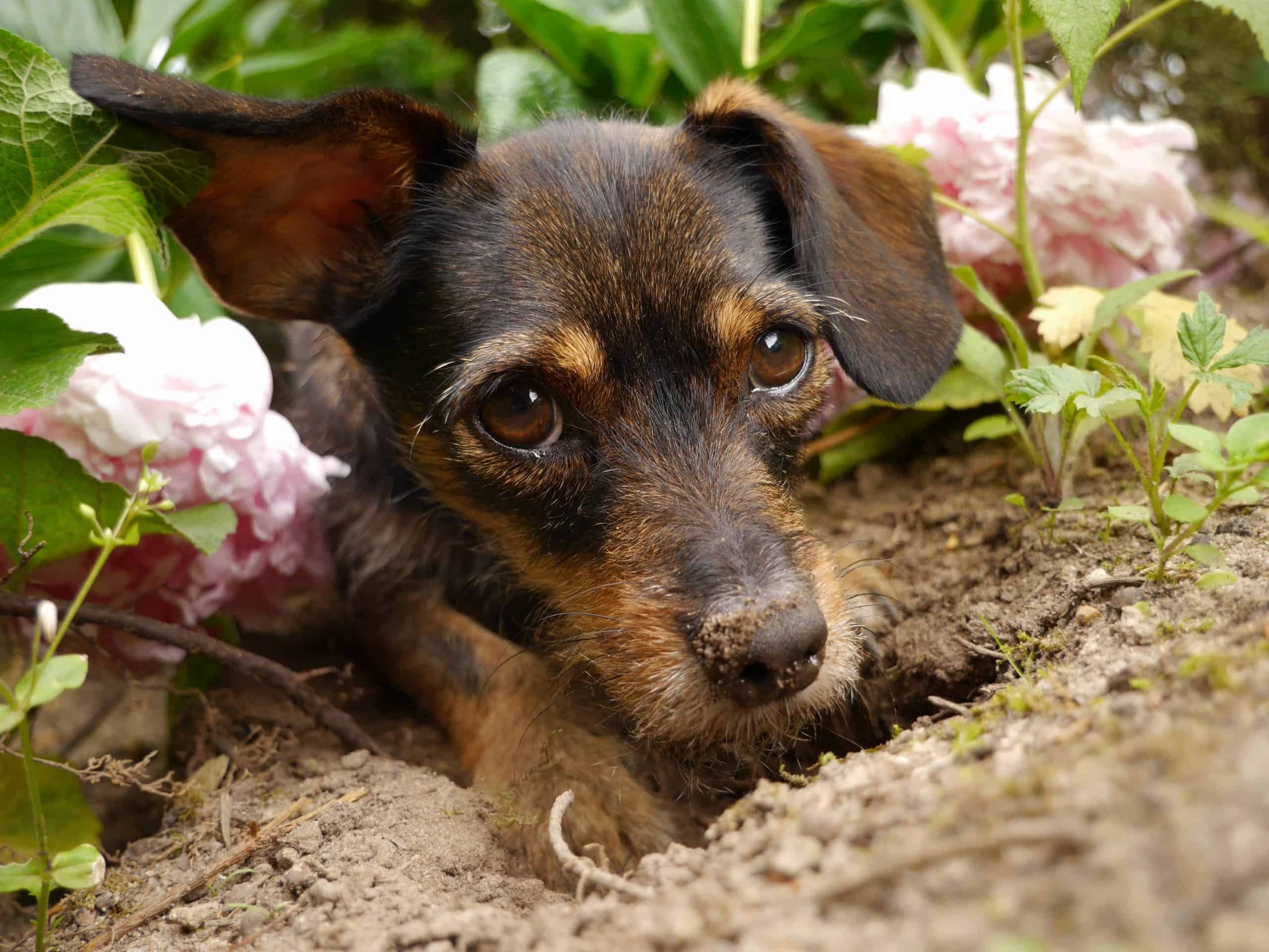 Puppy digs in garden. Some dogs imitate their owners by digging in the garden.