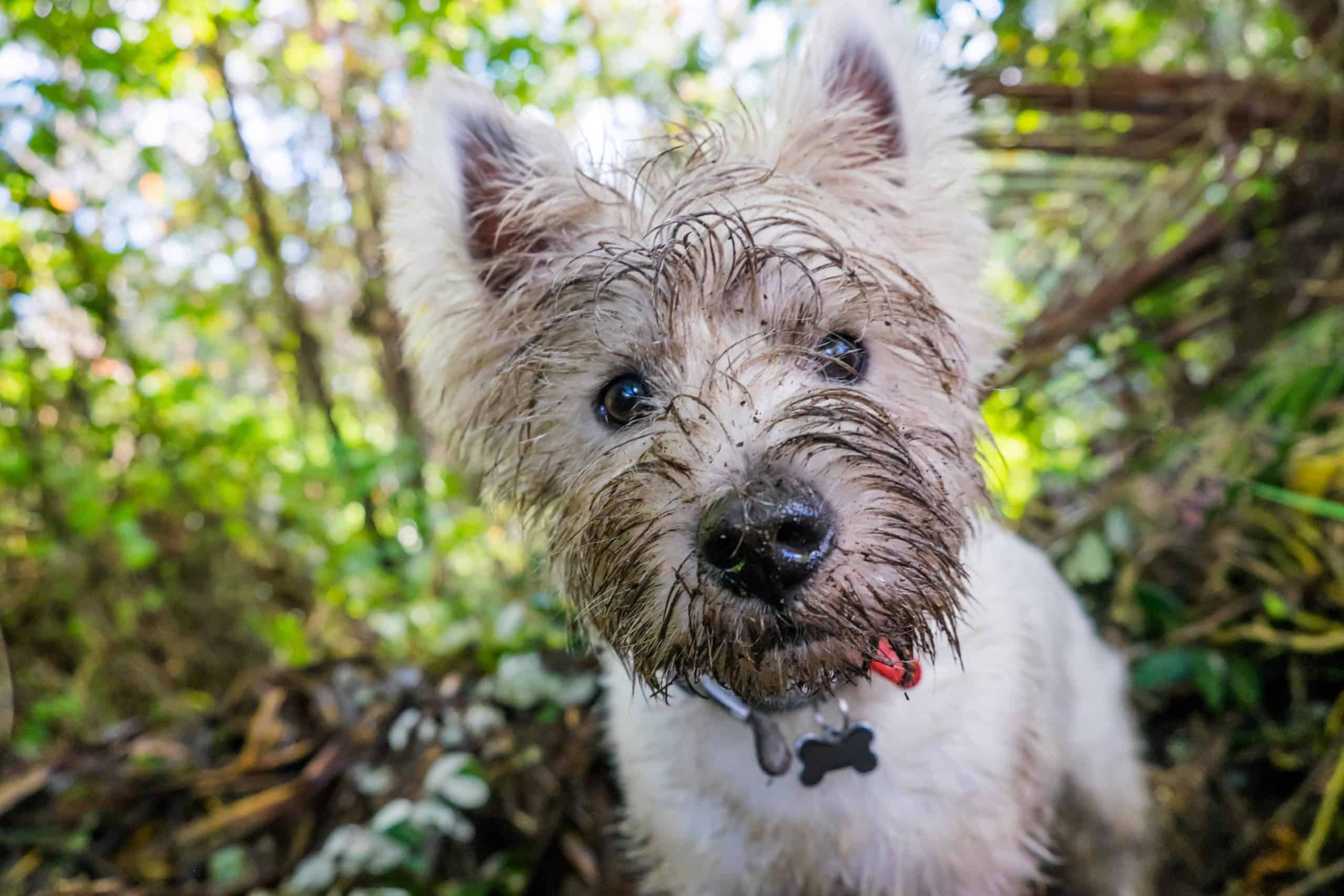 Terrier dog with a muddy face. Stop dogs digging by modifying your dog's behavior. Most dogs dig because they are bored.