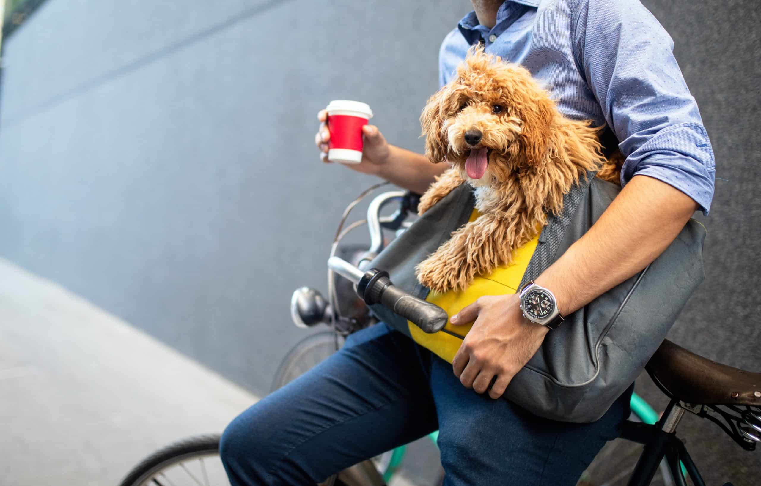 Student carries golden doodle puppy in messenger bag. Dogs make great companions for students and help ease loneliness.