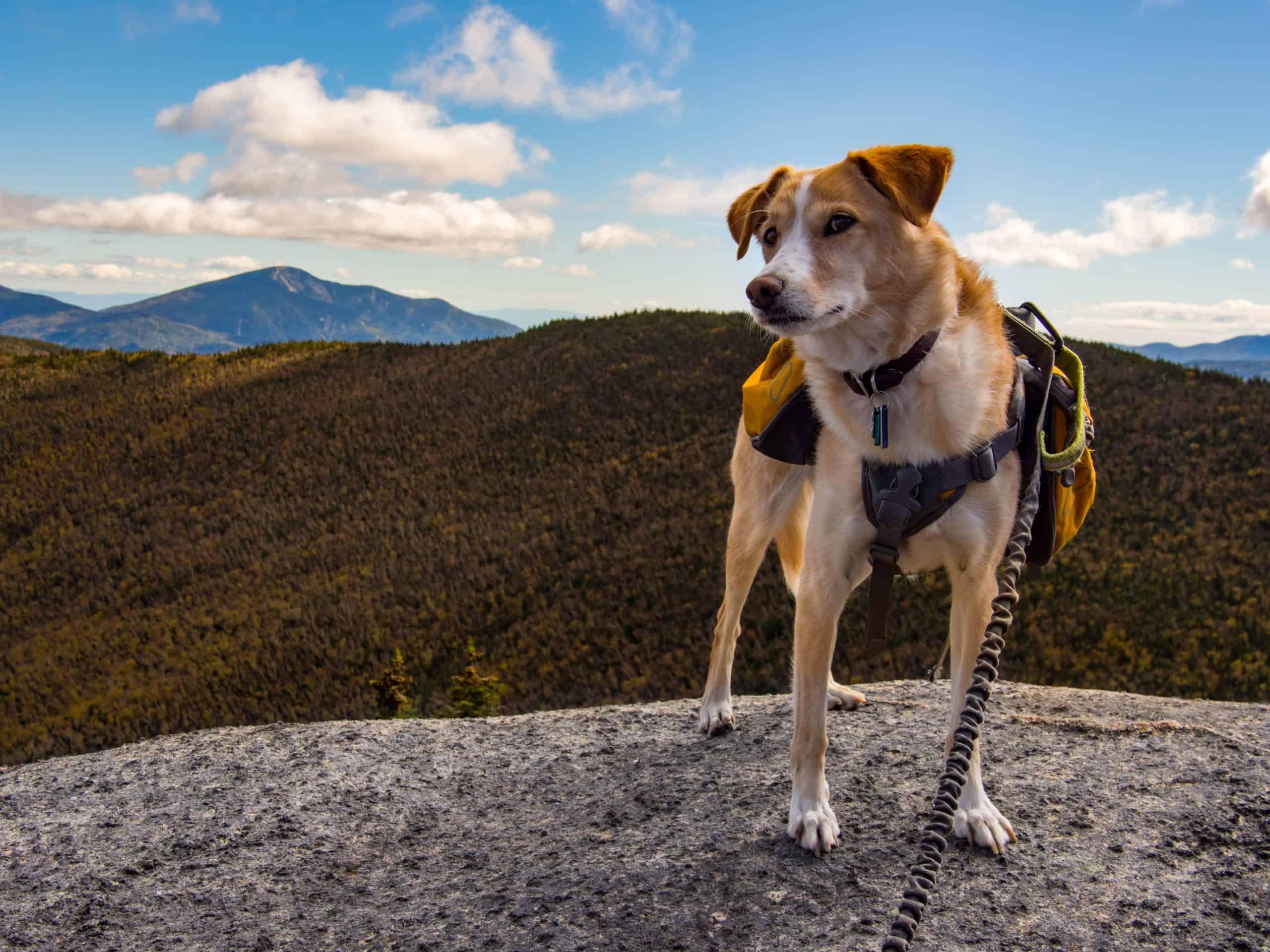 Dog on a trekking adventure wears a backpack.