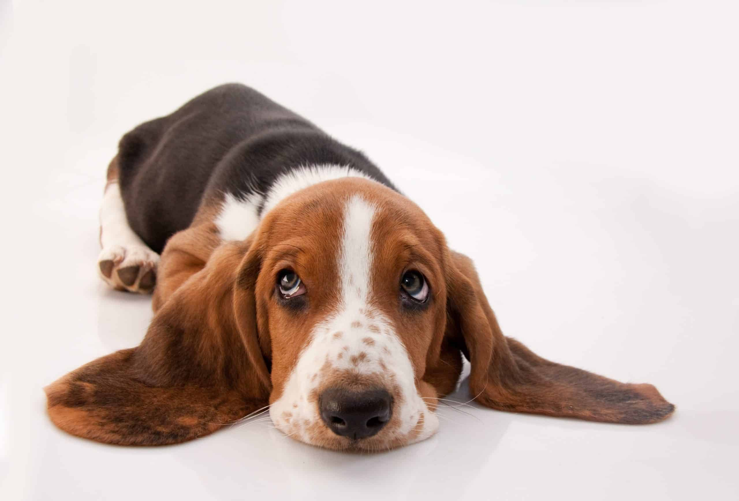 Bassett hound on white background. Basset Hounds have a calm and lazy nature.