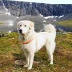 Anatolian Shepherd stands on mountain hillside. The Anatolian Shepherd is a livestock guardian. That means the dog will protect you, your home, and everyone living it in.