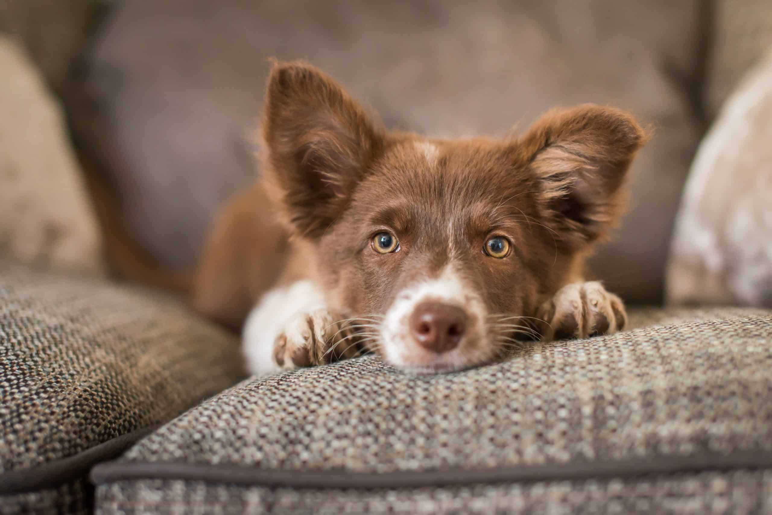 Australian Shepherd relaxes on a couch. CBD products can be used to alleviate anxiety and panic attacks, reduce stress, and achieve a state of relaxation.