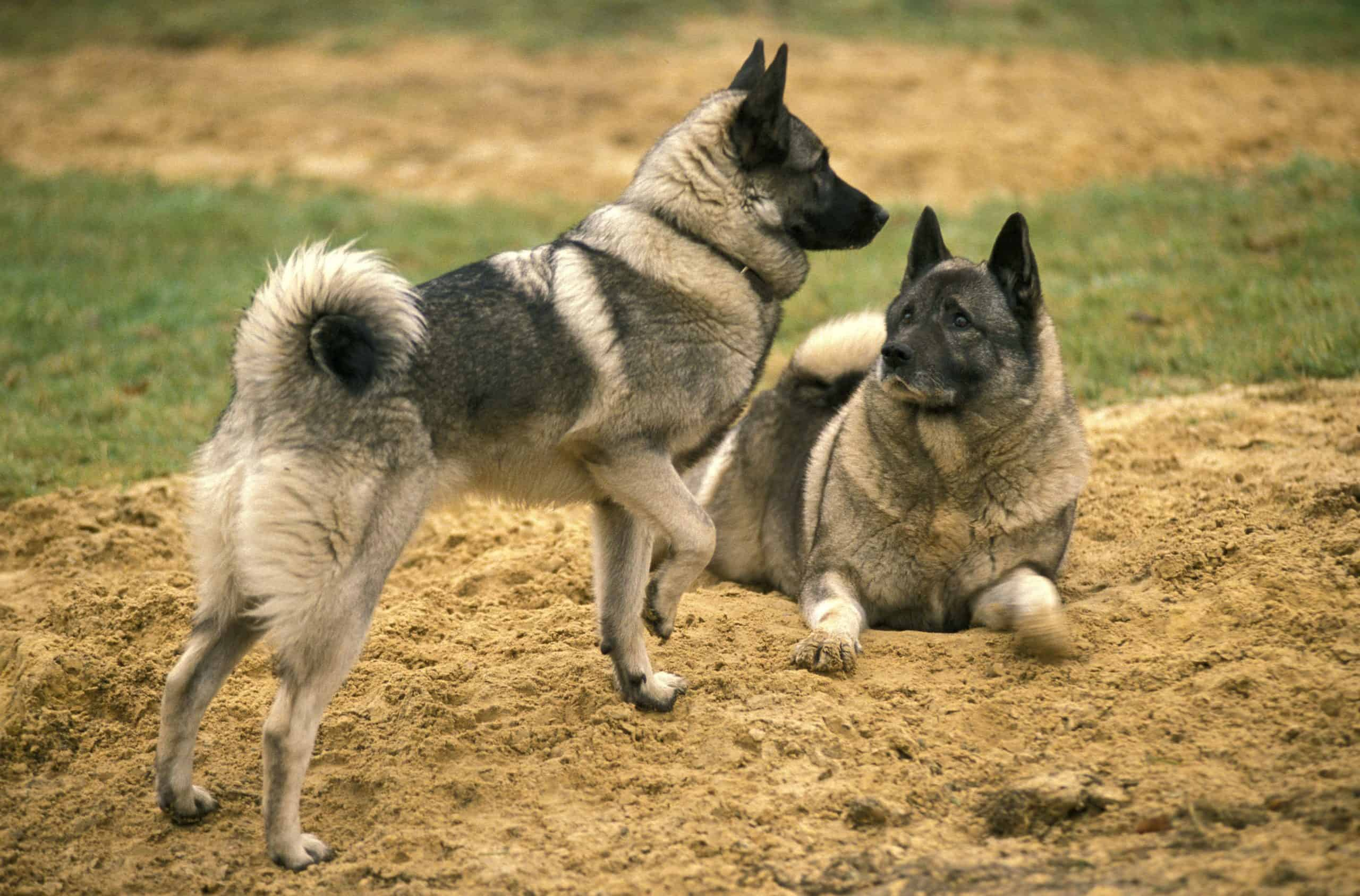 Two Norwegian Elkhounds play. The Norwegian Elkhound is a determined and independent yet, affectionate dog. They love strenuous activity need a daily walk or jog.
