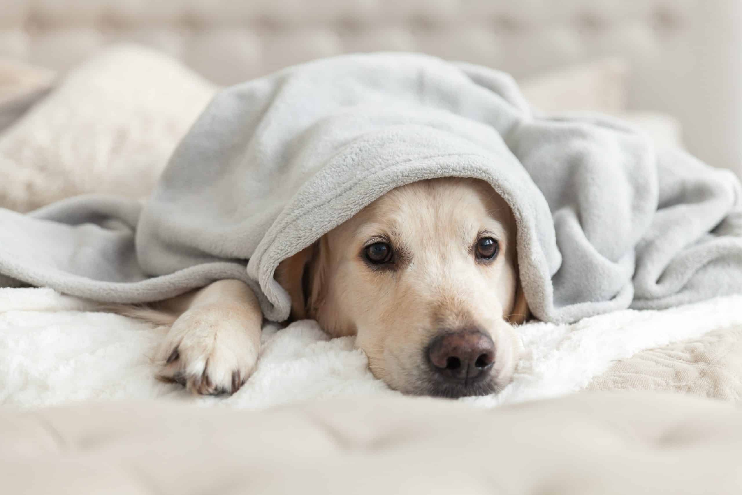 Sad Golden Retriever hides under a blanket. Side effects of Trazodone for dogs can include hiding or avoiding contact with people and other dogs.