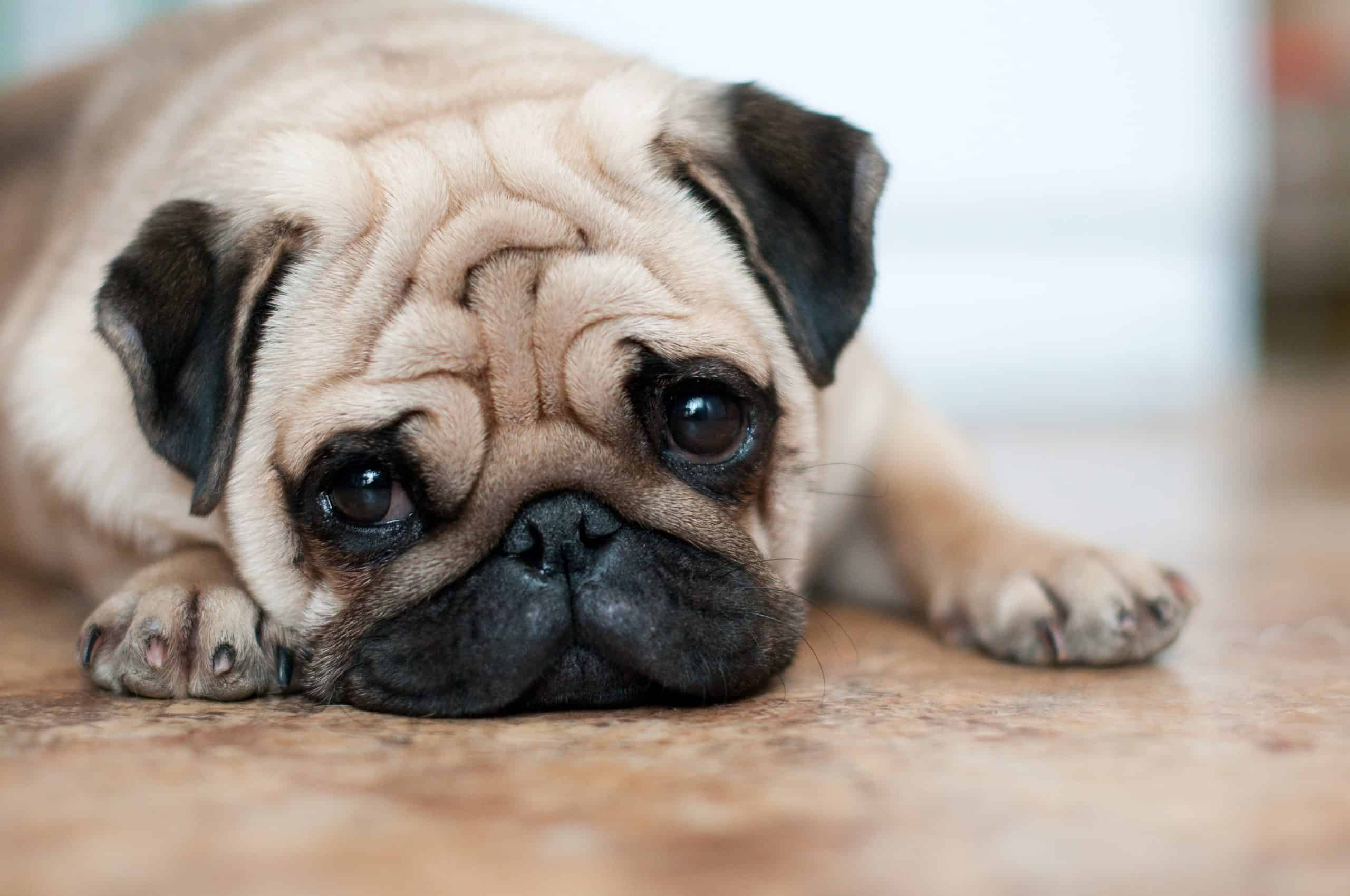 Depressed pug. Trazodone for dogs helps manage symptoms associated with separation anxiety, depression, or the need for excessive attention.