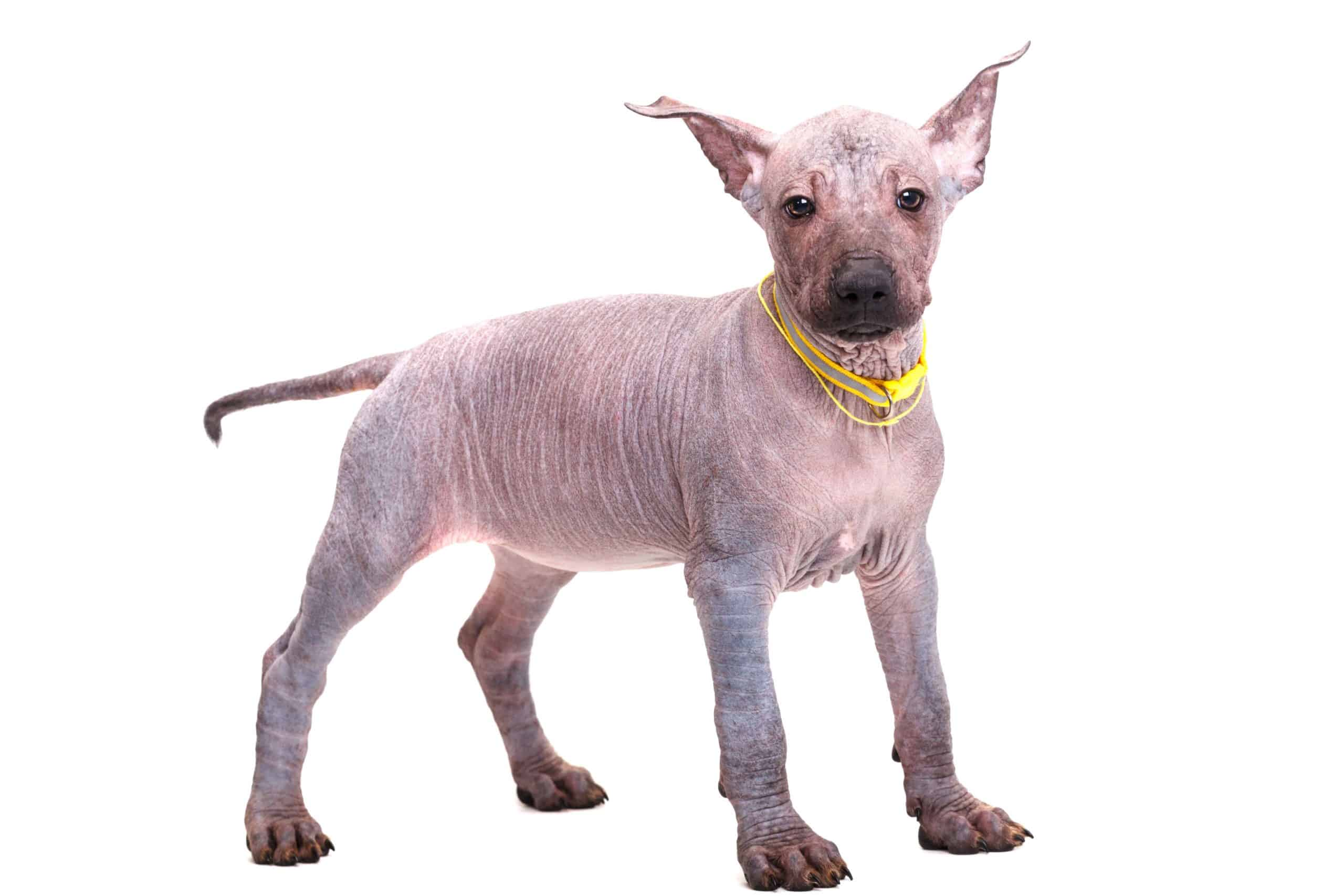 Xoloitzcuintili on a white background. Because the Xoloitzcuintili is an intelligent dog, training may be arduous as they may choose not to cooperate.