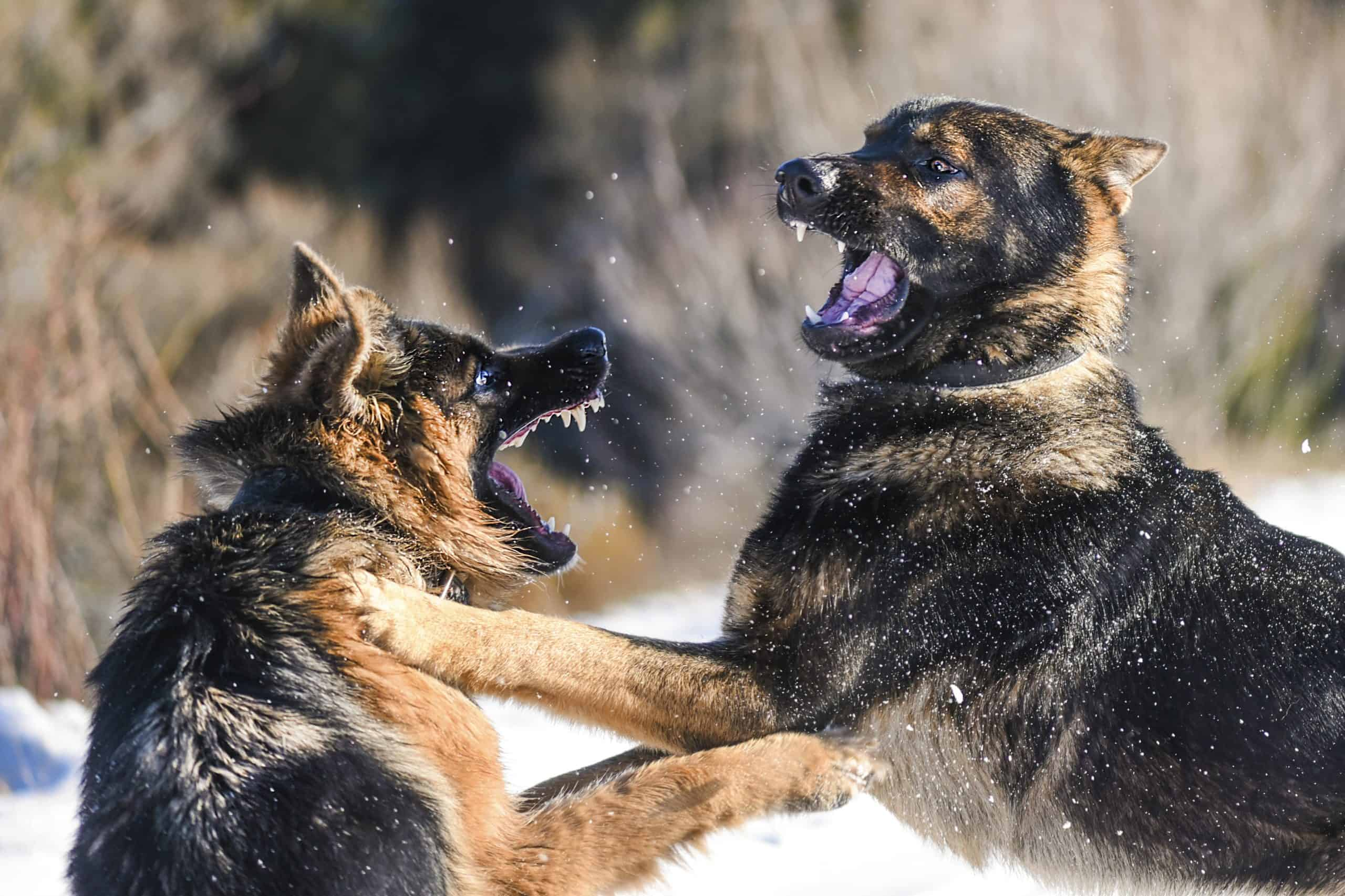 Two German Shepherds fighting. To keep them calm and avoid aggressive behavior, German Shepherd dogs require a lot of training.
