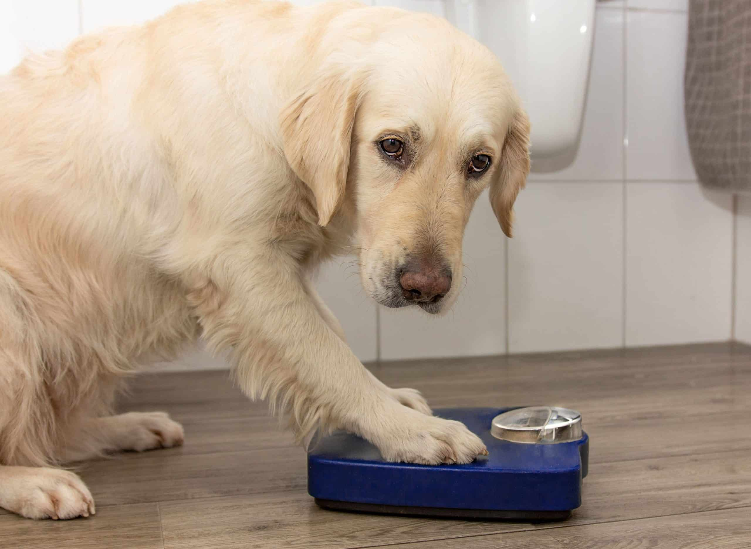 Overweight golden retriever with scale. Several risk factors like obesity can predispose dogs to suffer from impacted anal glands.
