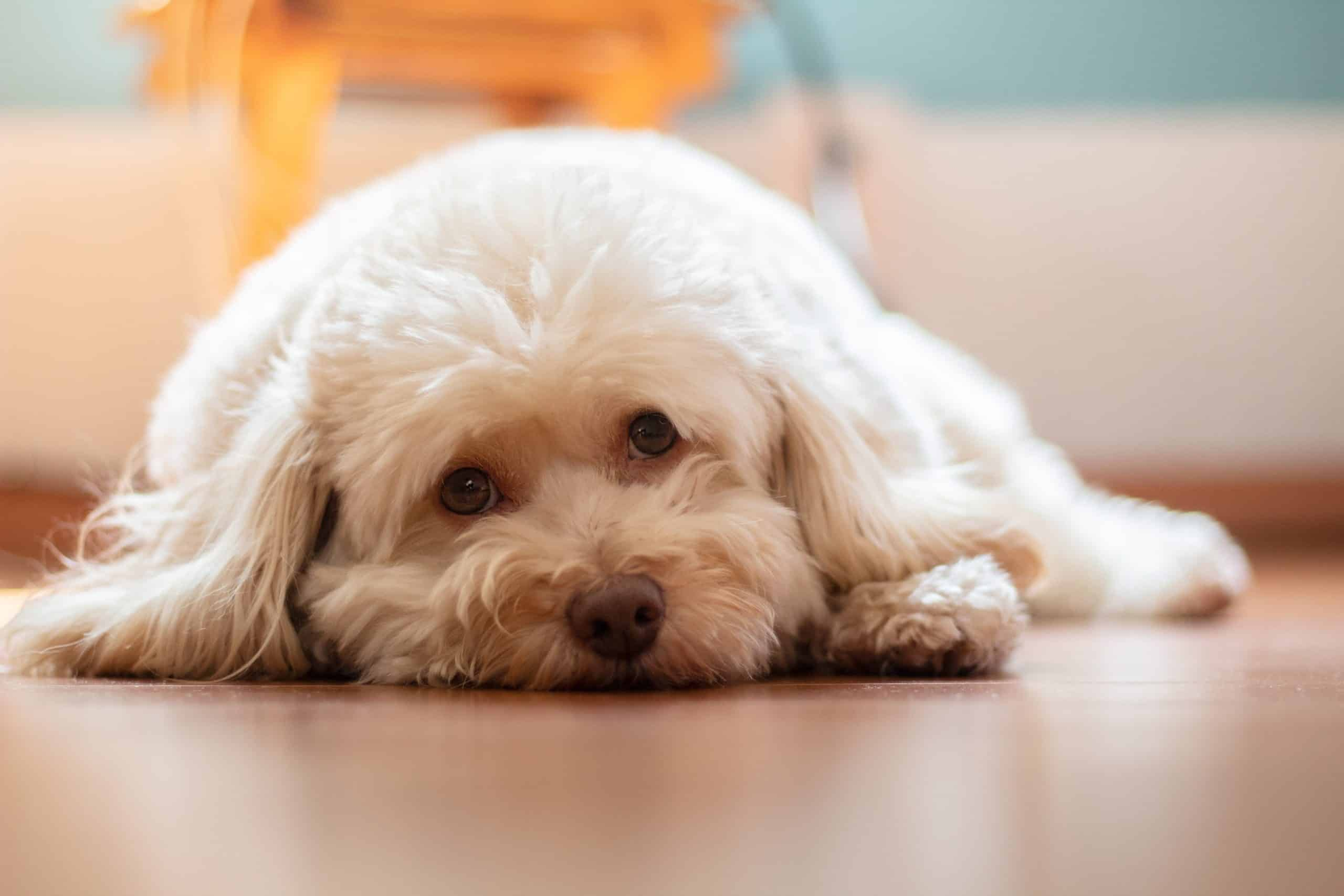 White poodle lays on the floor. Small breeds often suffer from congenital limb conformation problems such as luxating patellas, which prevents the dog from squatting properly and impacts the muscle contraction required to express the anal sacs when the dog poops.